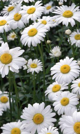 9396 скачать обои Растения, Цветы, Ромашки - заставки и картинки бесплатно