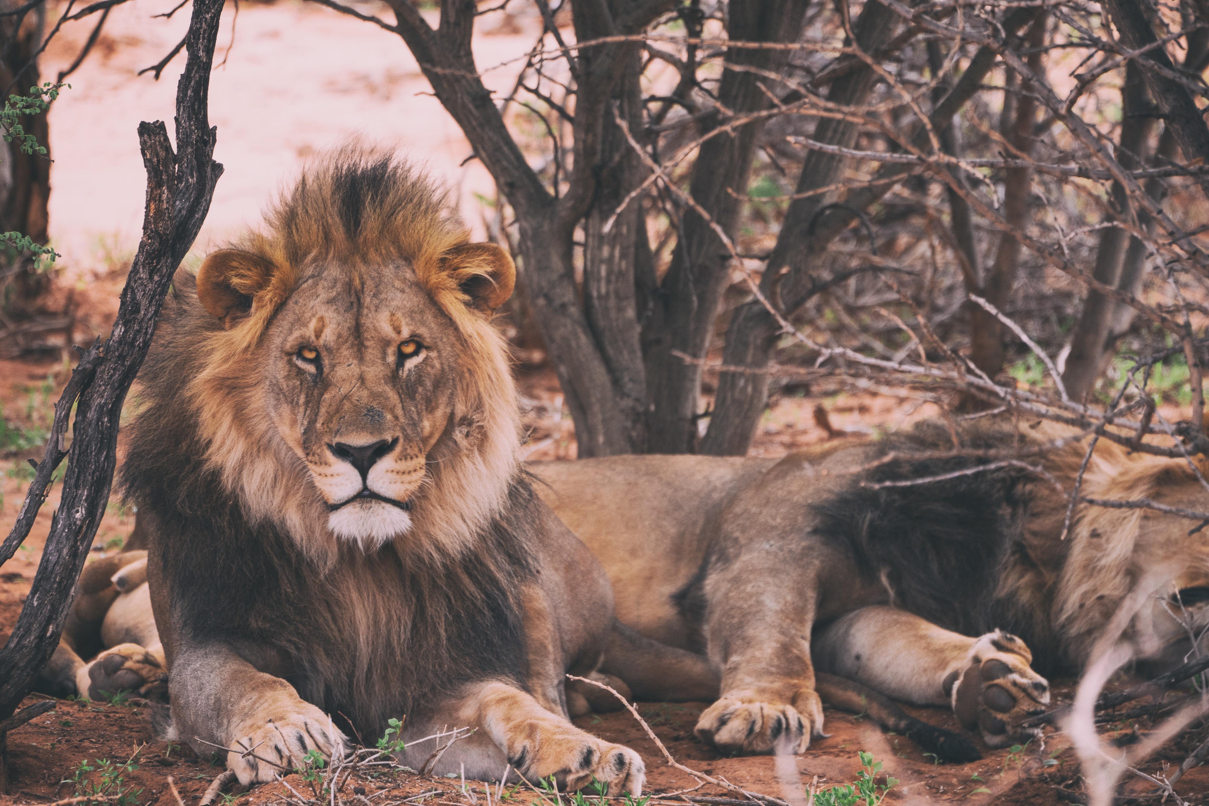 94715 baixar papel de parede Animais, Leão, Mentiras, Um Leão, Predator, Predador, Rei Das Feras, Rei Das Bestas - protetores de tela e imagens gratuitamente