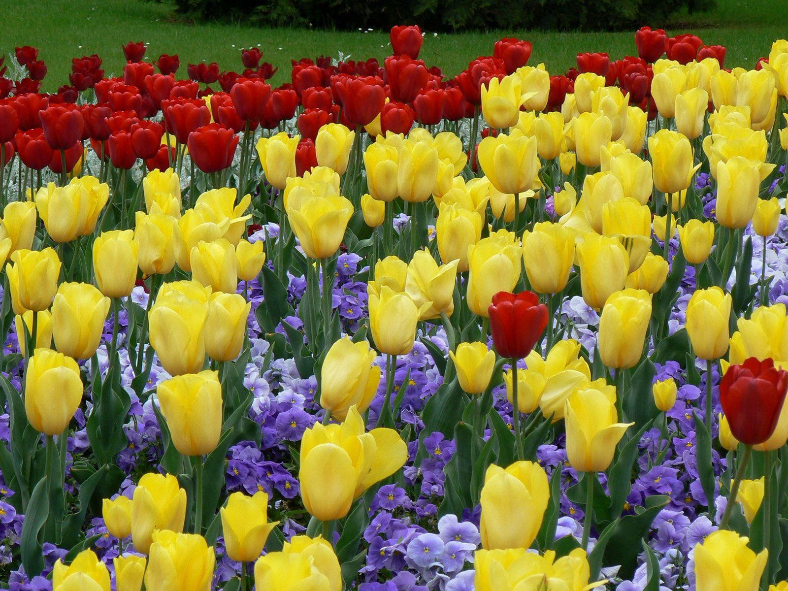 141668 descargar fondo de pantalla Flores, Cama De Flores, Parterre, El Parque, Parque, Césped, Belleza, Tulipanes: protectores de pantalla e imágenes gratis