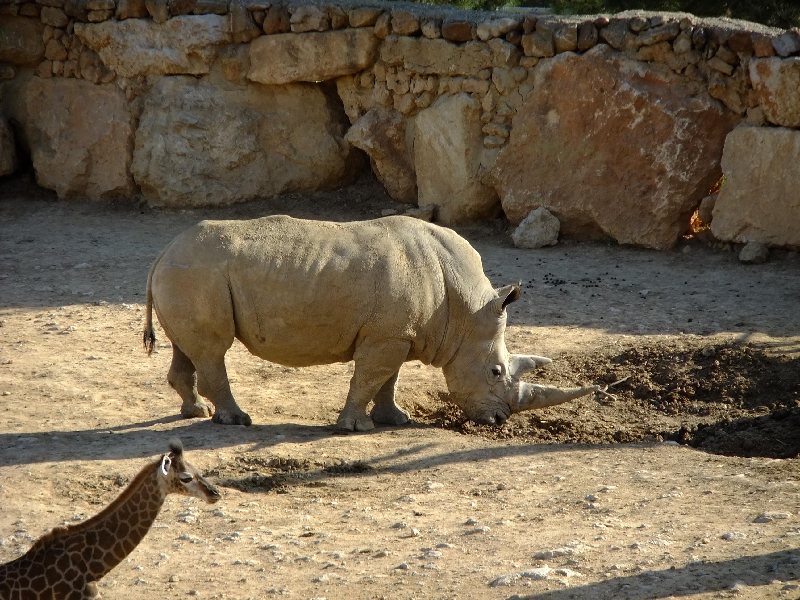 80690 免費下載壁紙 动物, 泥, 泥浆, 犀牛, 长颈鹿, 预订, 自然保护区 屏保和圖片