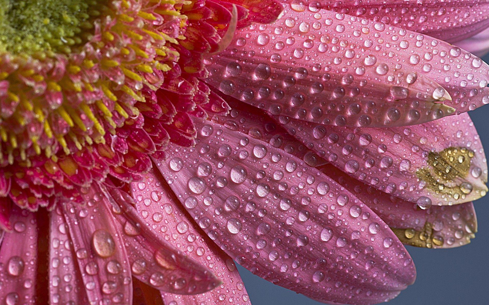 155021 скачать обои Цветок, Капли, Макро, Лепестки, Розовый - заставки и картинки бесплатно