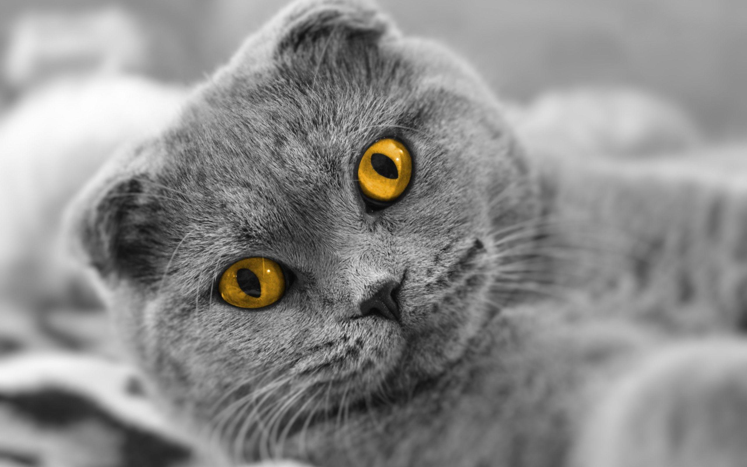 116686 скачать обои Животные, Кот, Британец, Морда, Толстый - заставки и картинки бесплатно