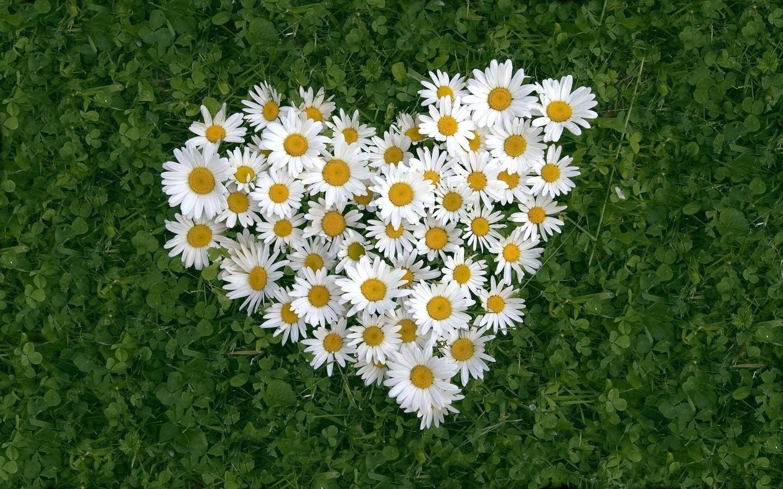 34808 скачать обои Растения, Цветы, Ромашки - заставки и картинки бесплатно