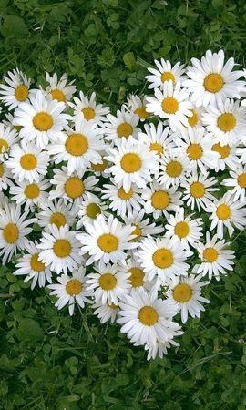 34808 descargar fondo de pantalla Plantas, Flores, Camomila: protectores de pantalla e imágenes gratis