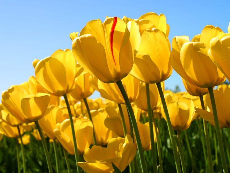 33836 скачать обои Растения, Цветы, Тюльпаны - заставки и картинки бесплатно