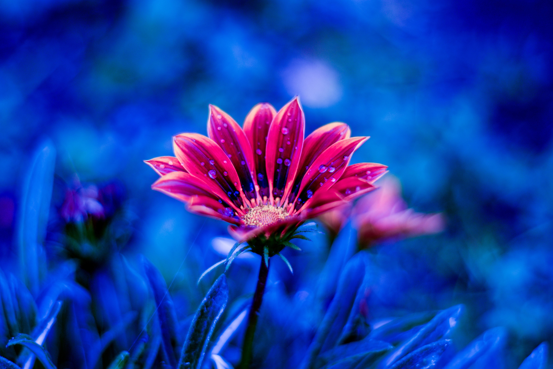 140993 скачать обои Цветок, Роса, Лепестки, Цветы, Капли, Синий - заставки и картинки бесплатно