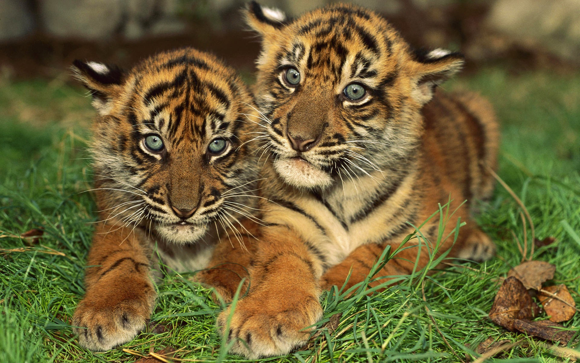37931 download wallpaper Animals, Tigers screensavers and pictures for free