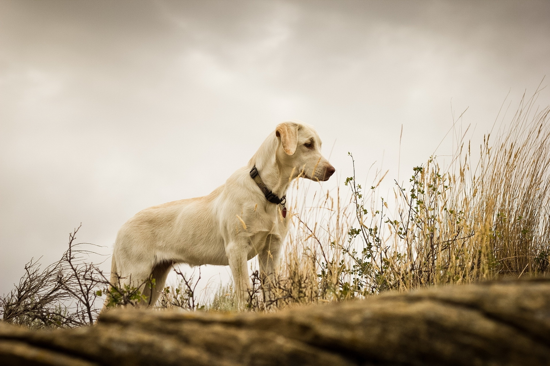 153310 download wallpaper Animals, Dog, Grass, Background, Labrador screensavers and pictures for free
