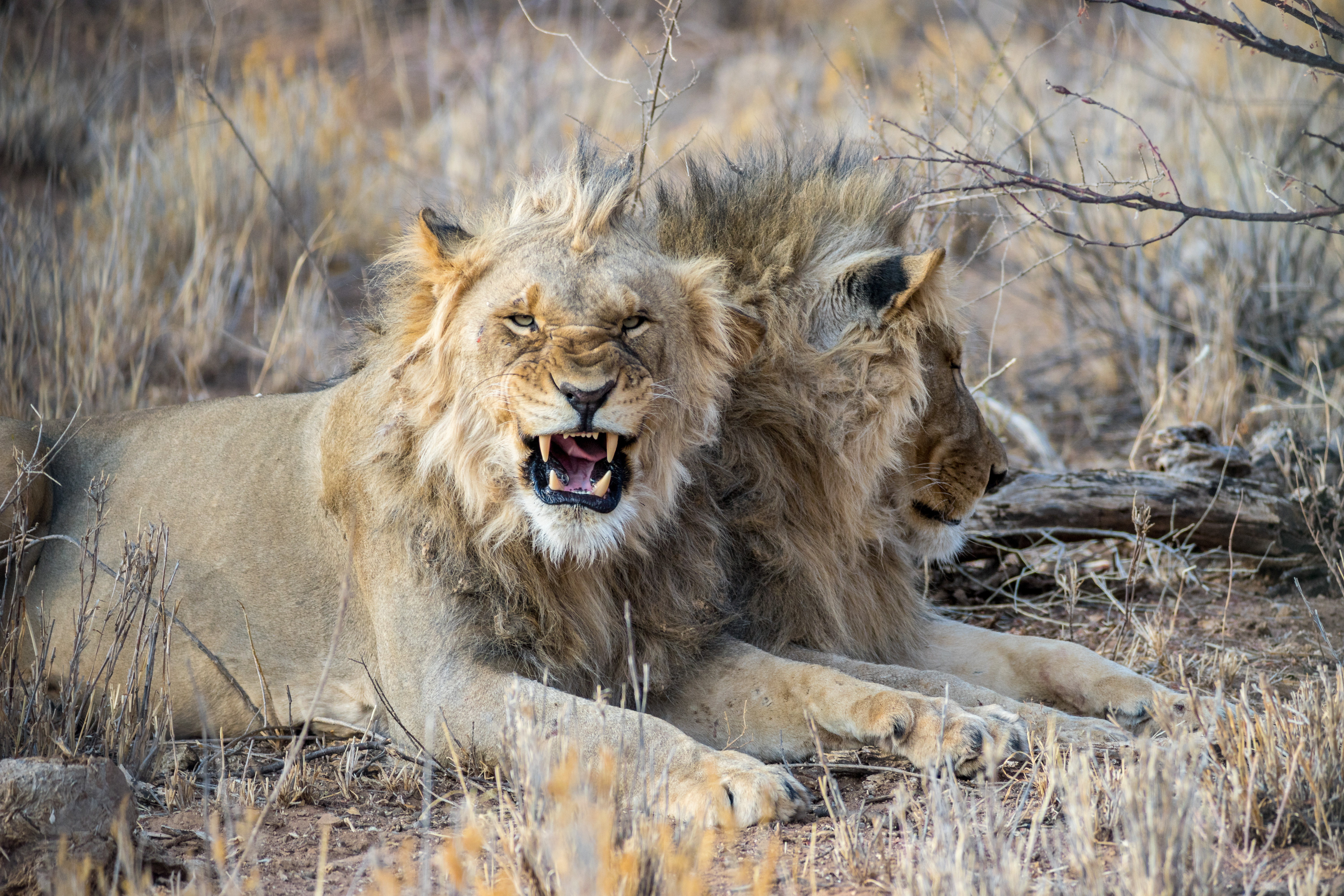 94484 download wallpaper Animals, Lion, Fangs, Big Cat, Evil screensavers and pictures for free