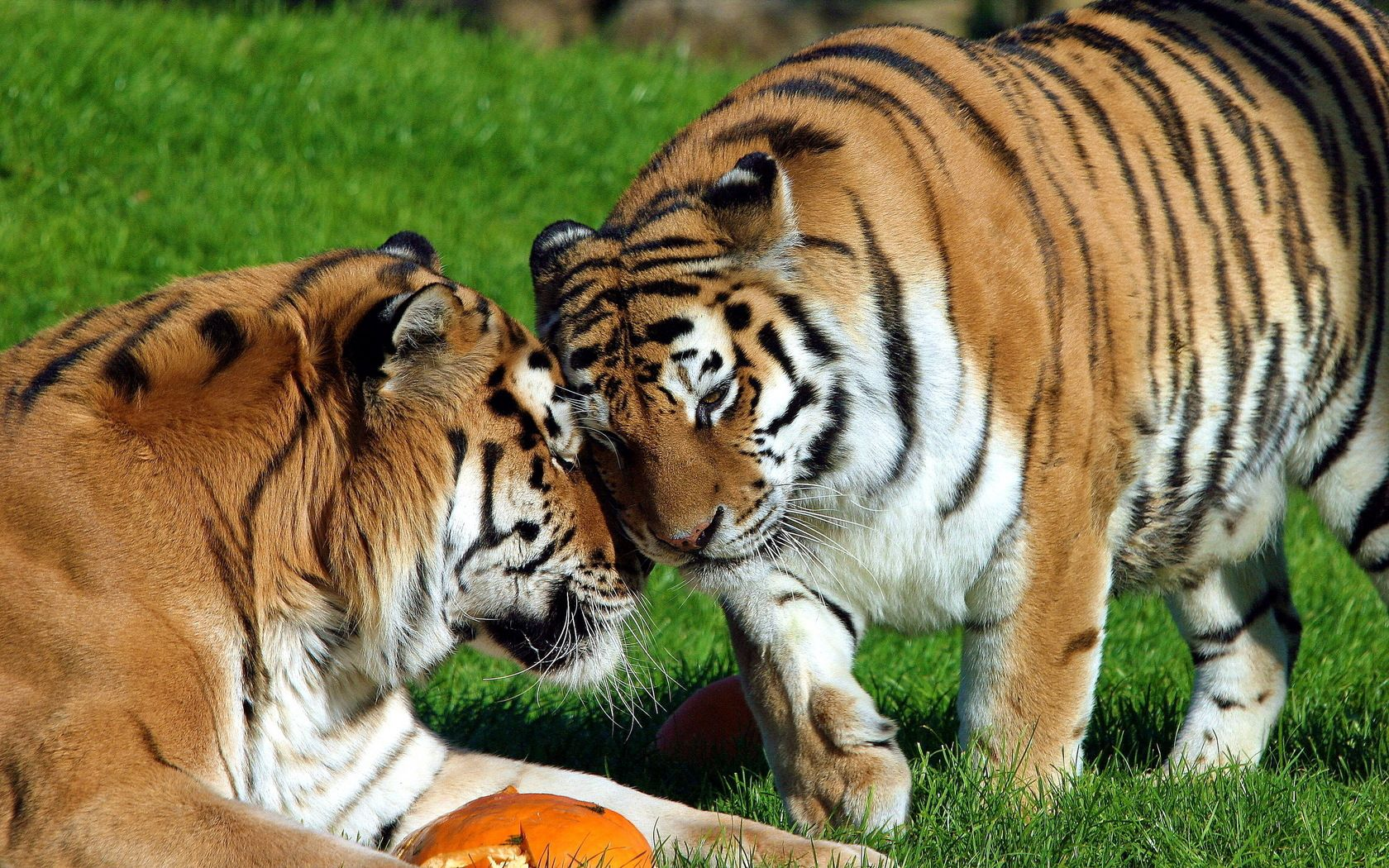 55089 descargar fondo de pantalla Animales, Pareja, Par, Hierba, Cuidado, Tigres: protectores de pantalla e imágenes gratis