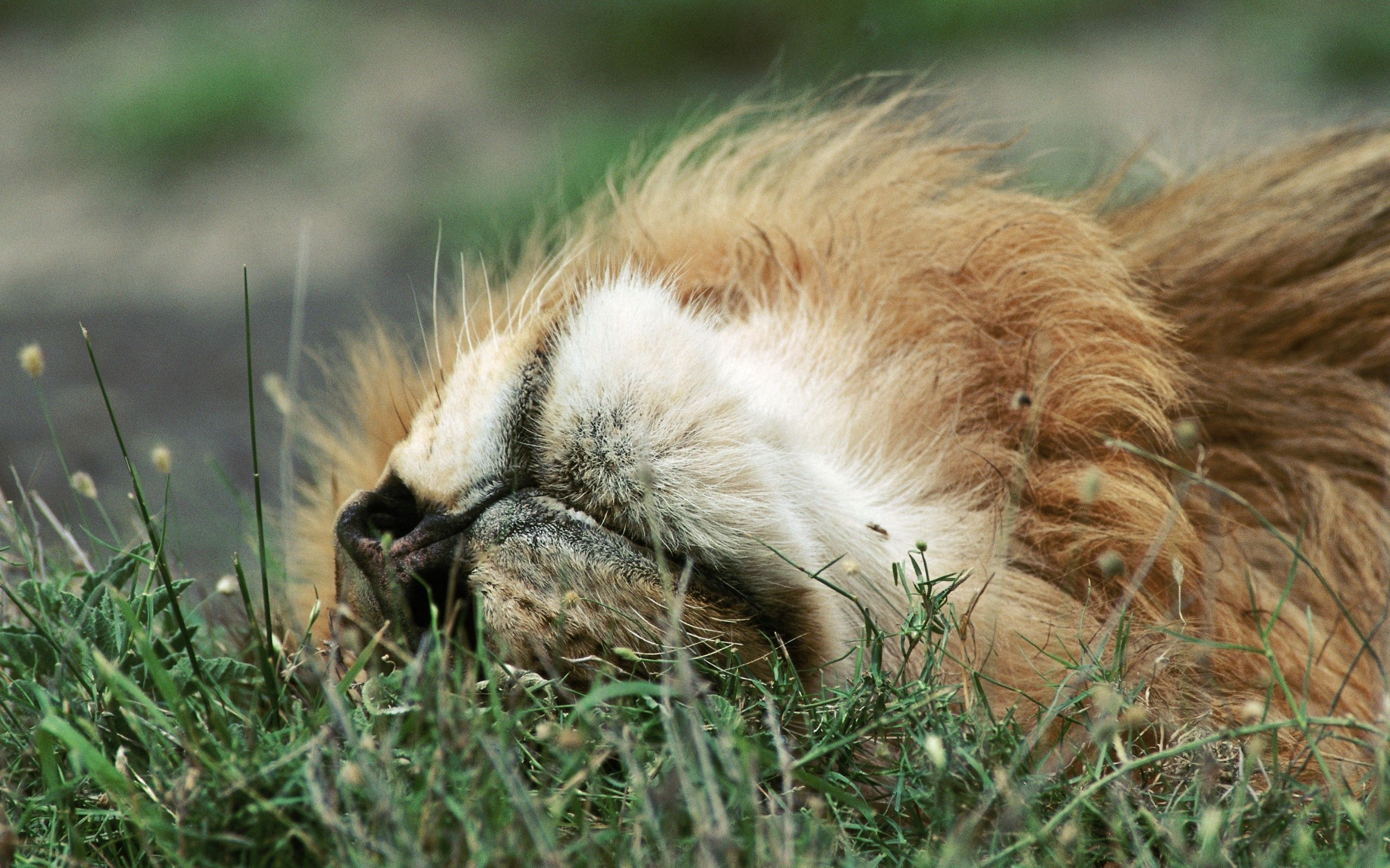 72843 download wallpaper Animals, Lion, Muzzle, Grass, To Lie Down, Lie screensavers and pictures for free