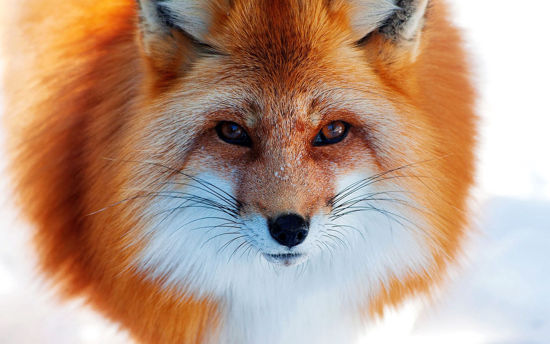 110539 download wallpaper Animals, Snow, Winter, Fox, Redhead, Nose screensavers and pictures for free