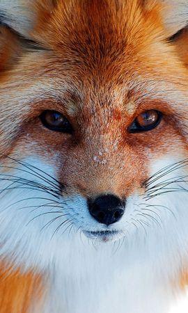 110539 Salvapantallas y fondos de pantalla Nieve en tu teléfono. Descarga imágenes de Animales, Nieve, Invierno, Un Zorro, Zorro, Pelirrojo, Nariz gratis