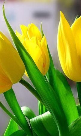 3901 скачать обои Растения, Цветы, Тюльпаны - заставки и картинки бесплатно