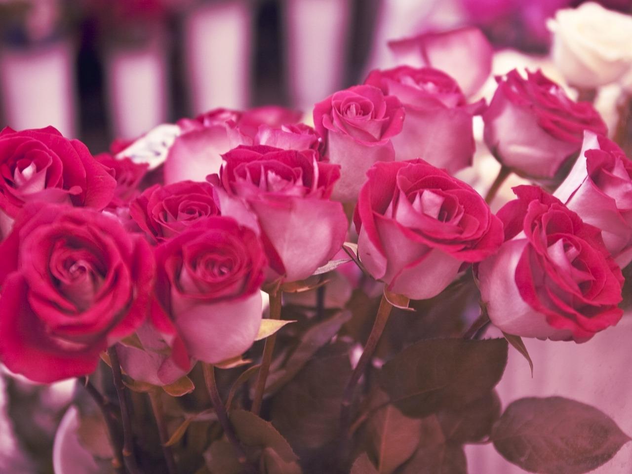47033 скачать обои Растения, Цветы, Розы - заставки и картинки бесплатно