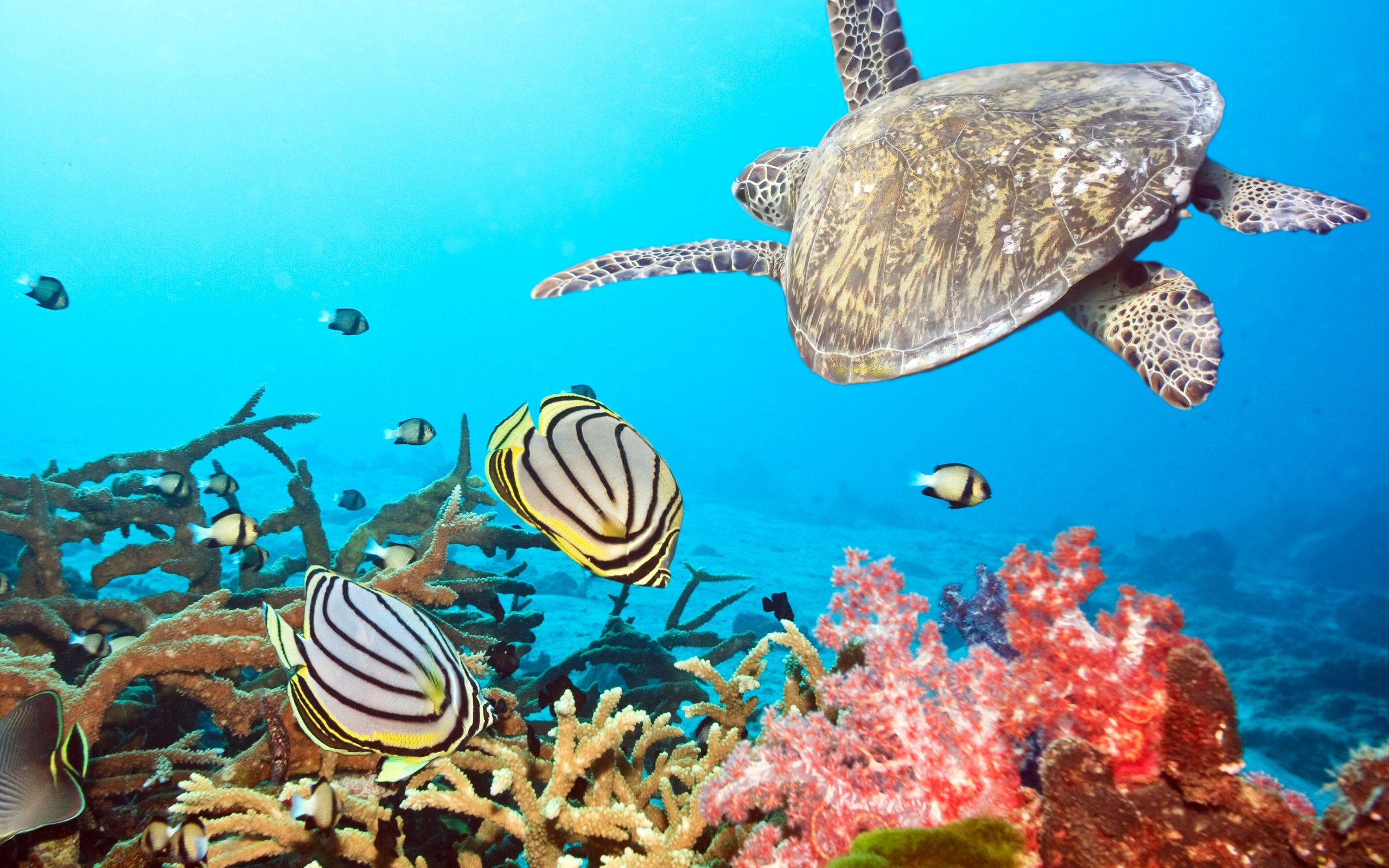 54078 download wallpaper Animals, Turtle, Sea, Ocean, Underwater World, To Swim, Swim screensavers and pictures for free