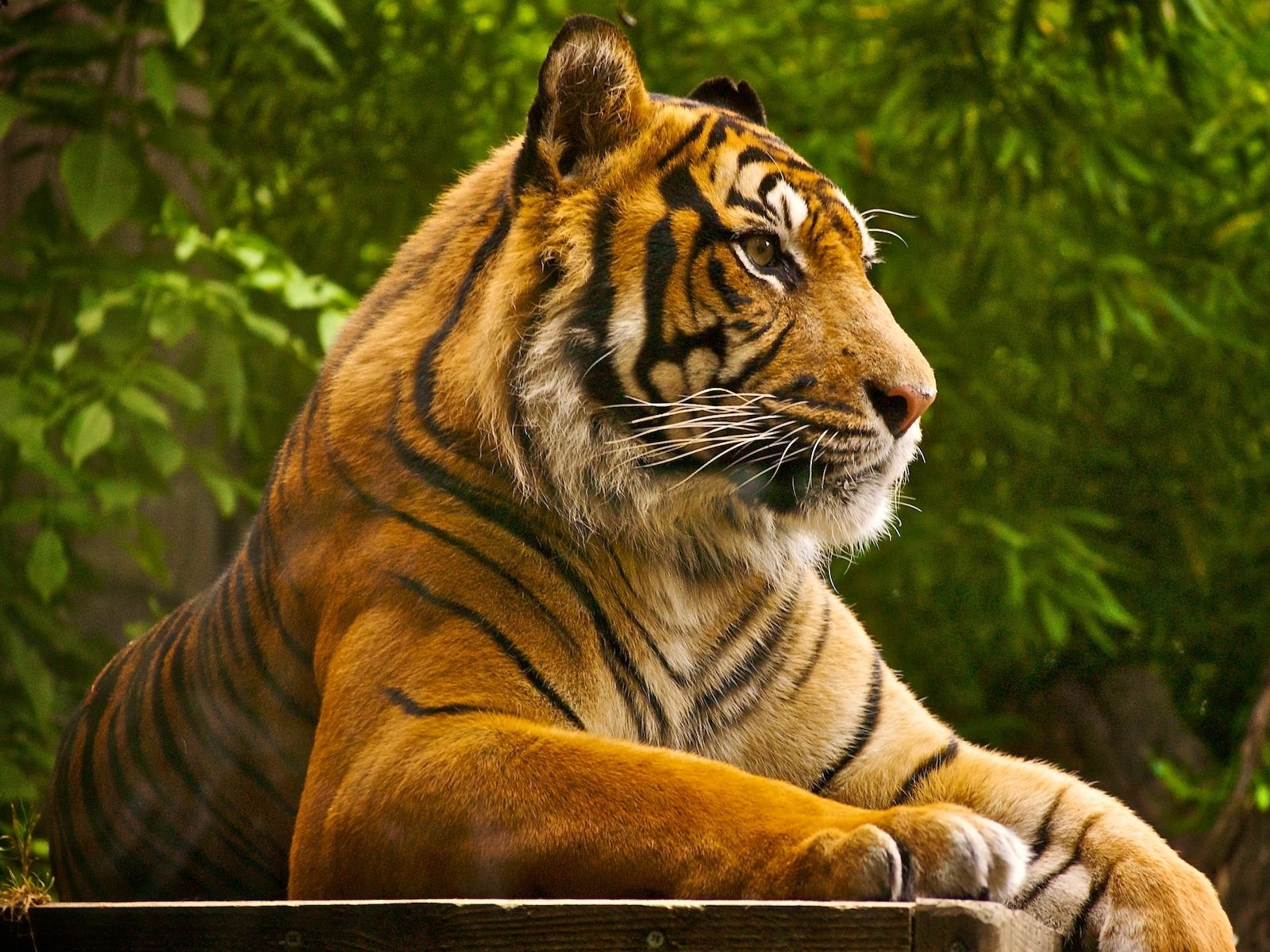 1638 download wallpaper Animals, Tigers screensavers and pictures for free