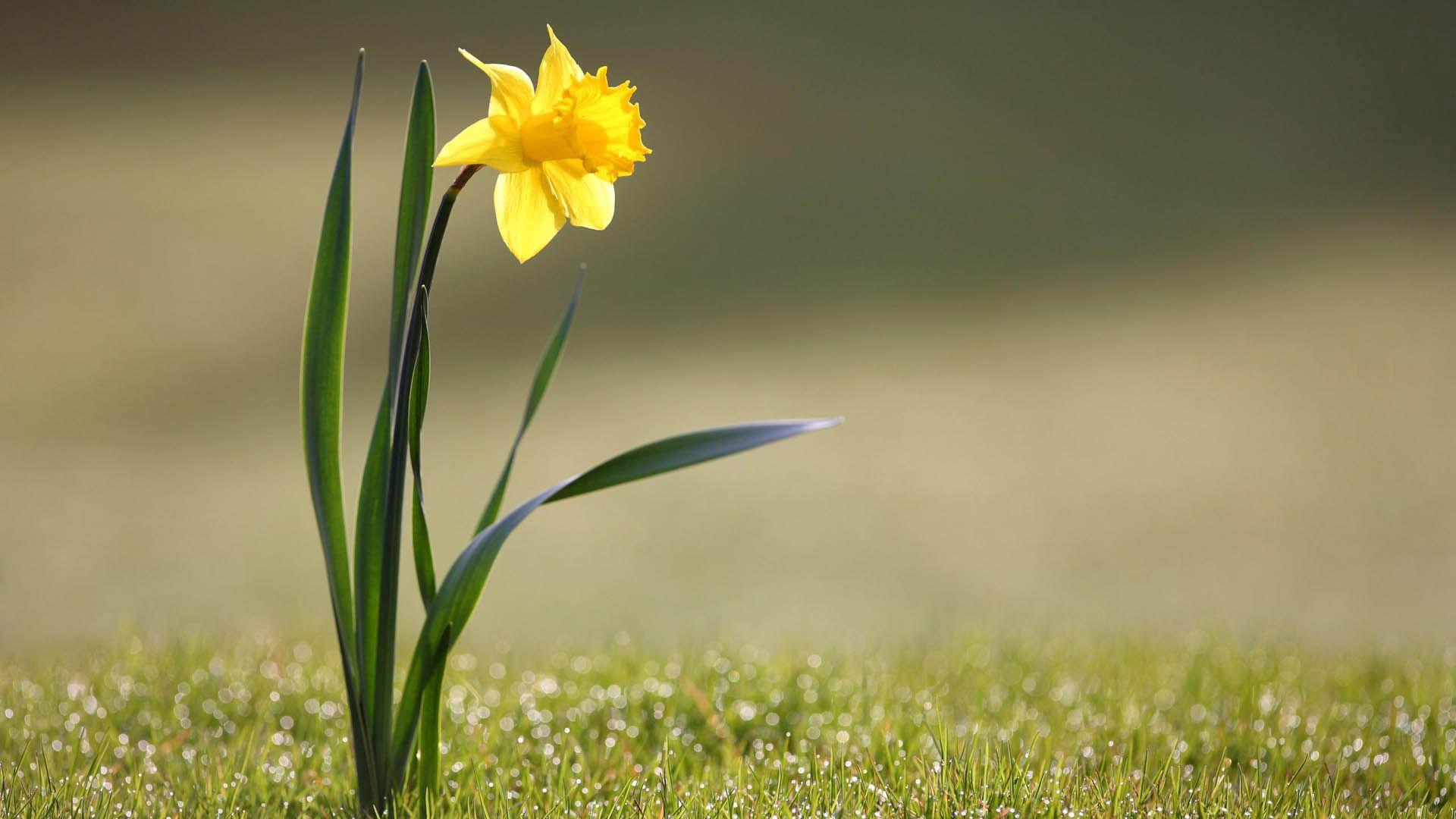 115526 Lade kostenlos Gelb Hintergrundbilder für dein Handy herunter, Blume, Makro, Narzisse, Narcissus, Stengel, Stiel Gelb Bilder und Bildschirmschoner für dein Handy