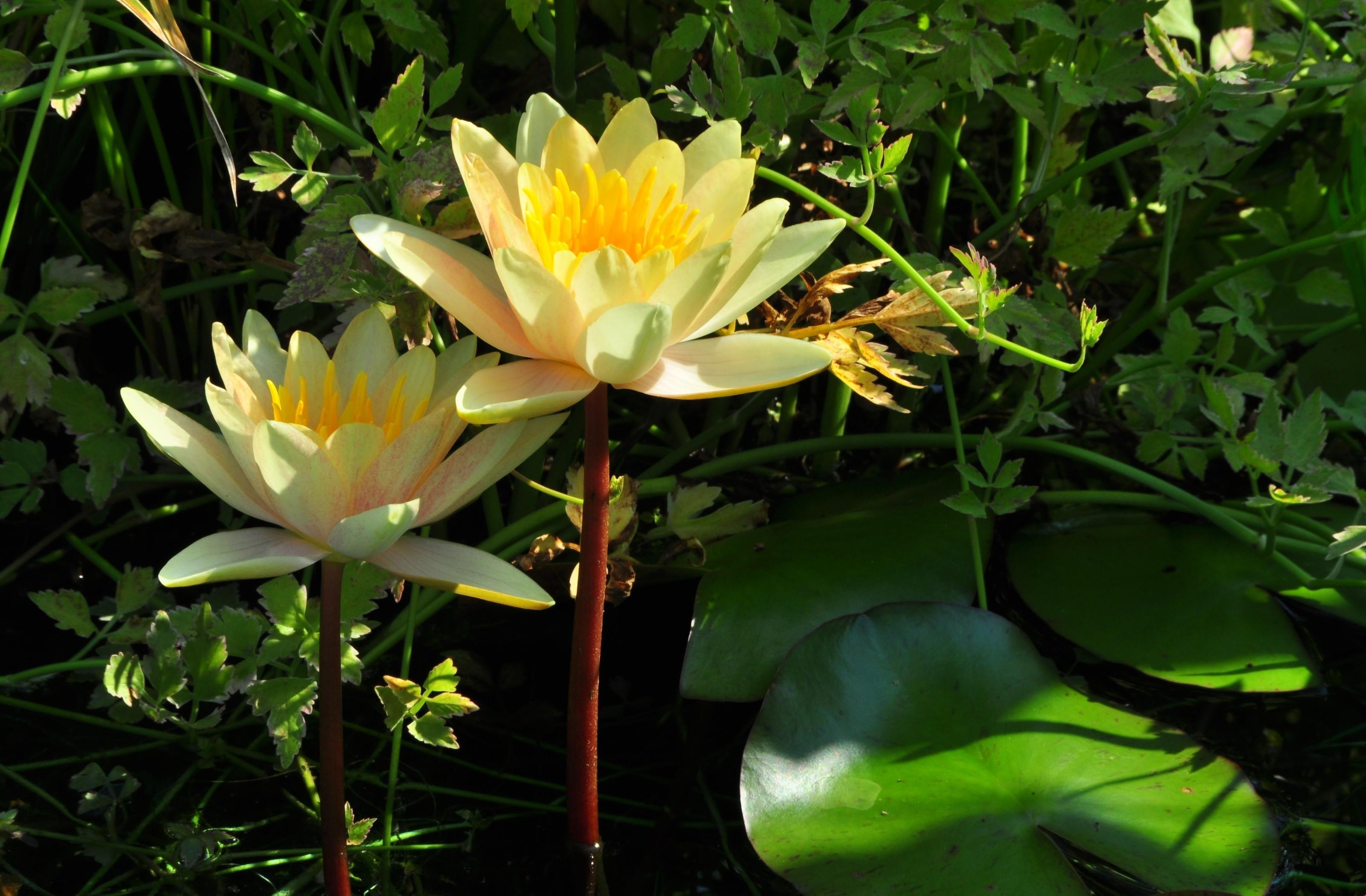 107187 скачать обои Цветы, Кувшинки, Пара, Стебли, Листья, Вода - заставки и картинки бесплатно