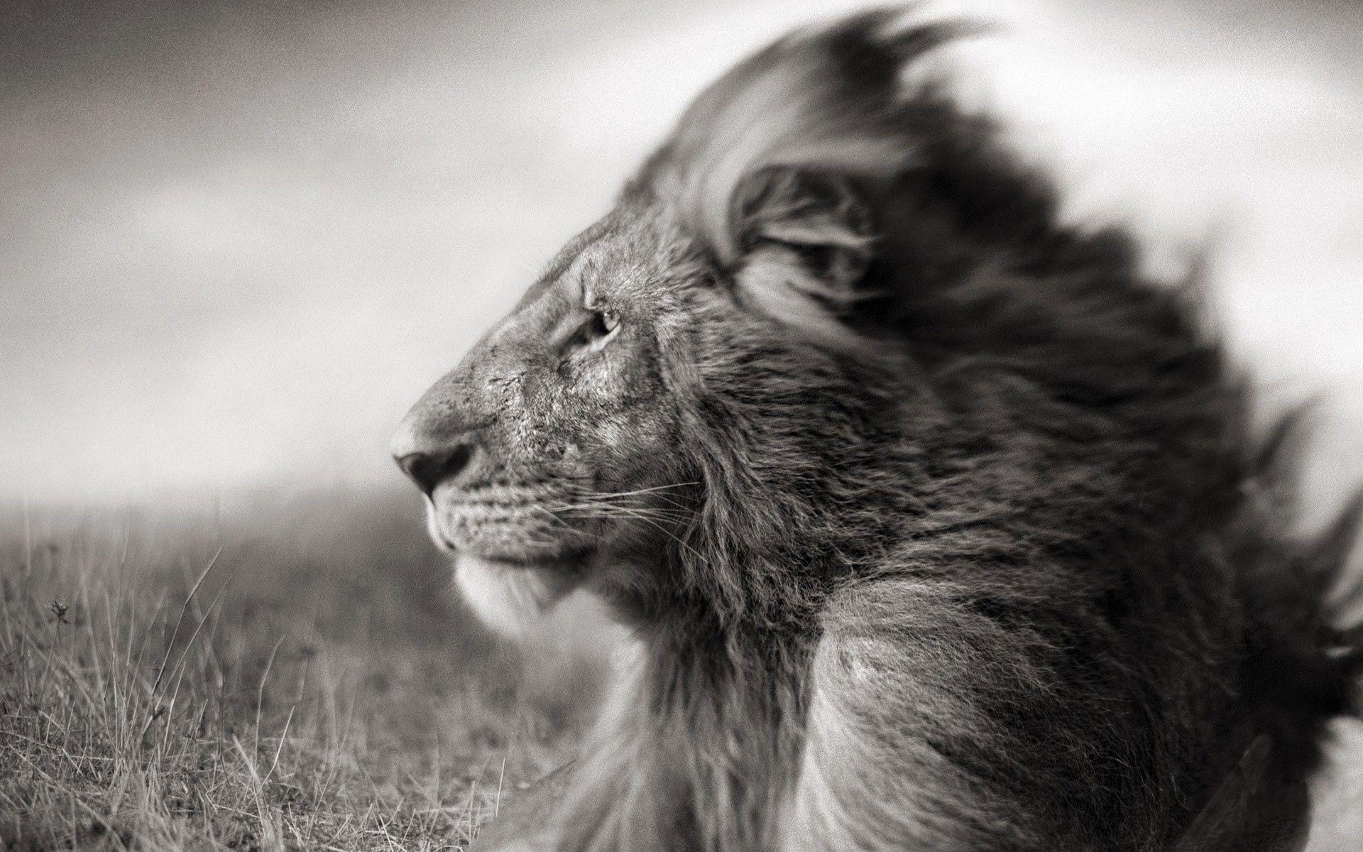 74209 Hintergrundbild herunterladen Tiere, Schnauze, Feld, Ein Löwe, Löwe, Bw, Chb, Mähne, Wind - Bildschirmschoner und Bilder kostenlos
