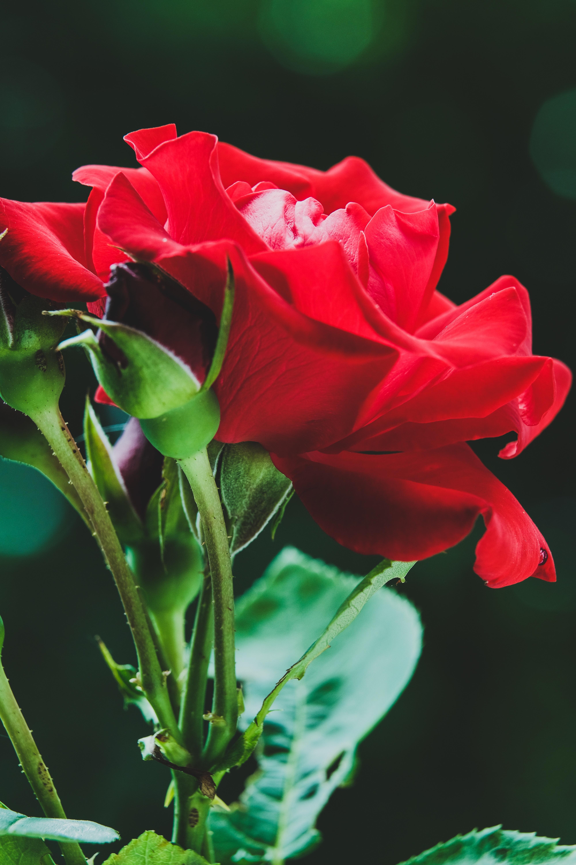 67702 скачать обои Цветок, Макро, Роза, Красный, Бутоны - заставки и картинки бесплатно