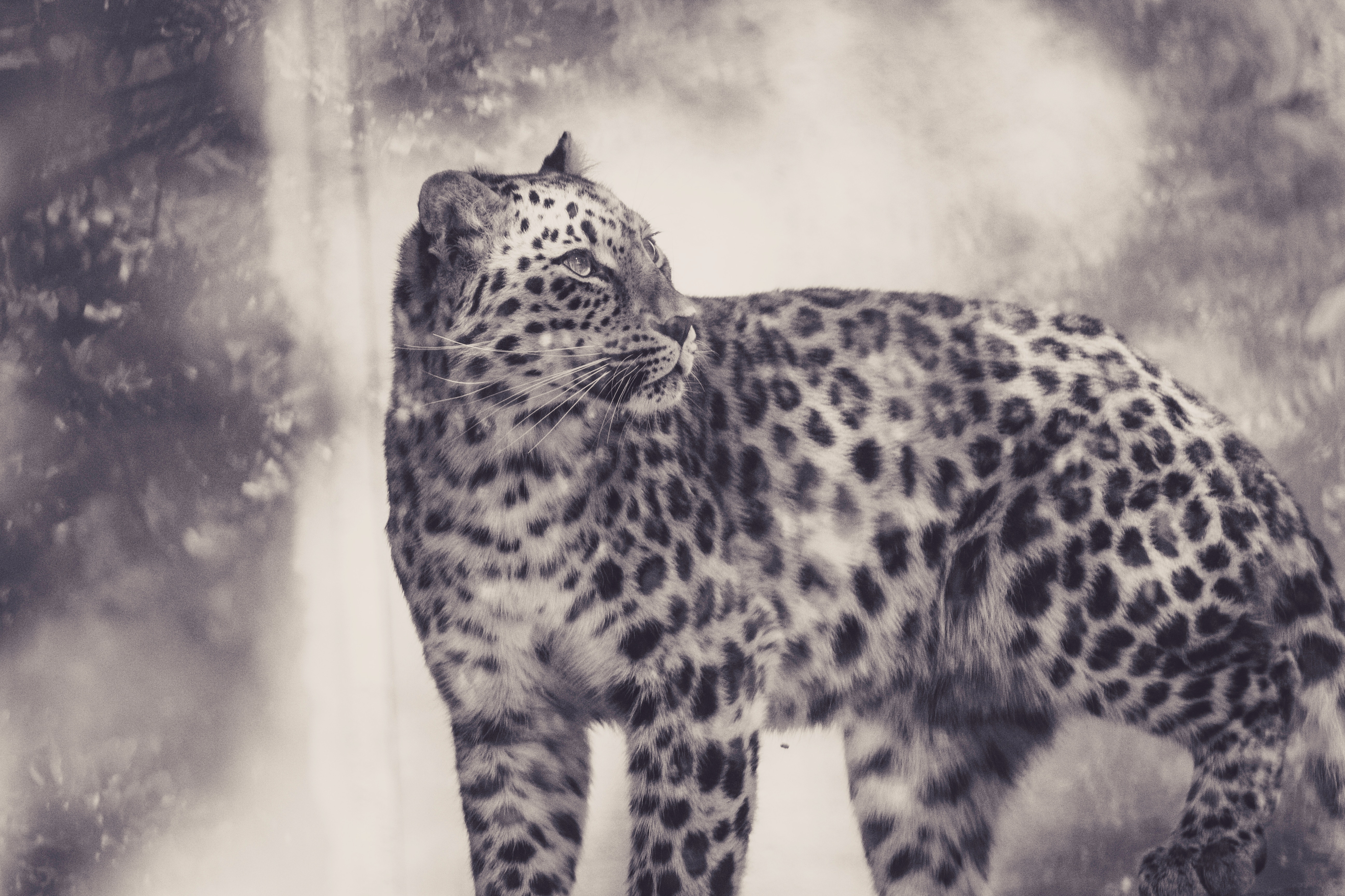 97681 download wallpaper Animals, Leopard, Bw, Chb, Predator, Big Cat screensavers and pictures for free