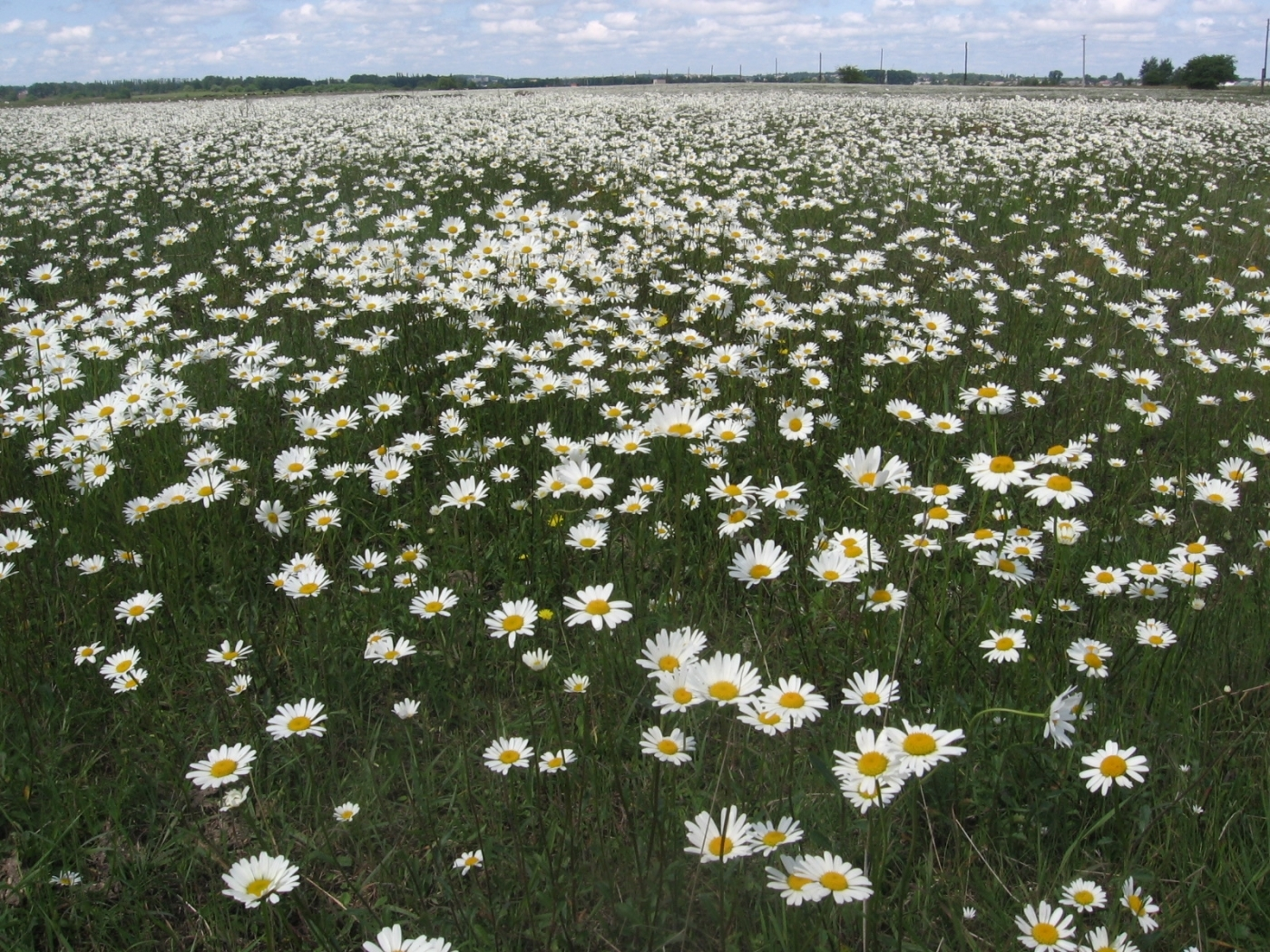 43203 download wallpaper Landscape, Flowers, Camomile screensavers and pictures for free