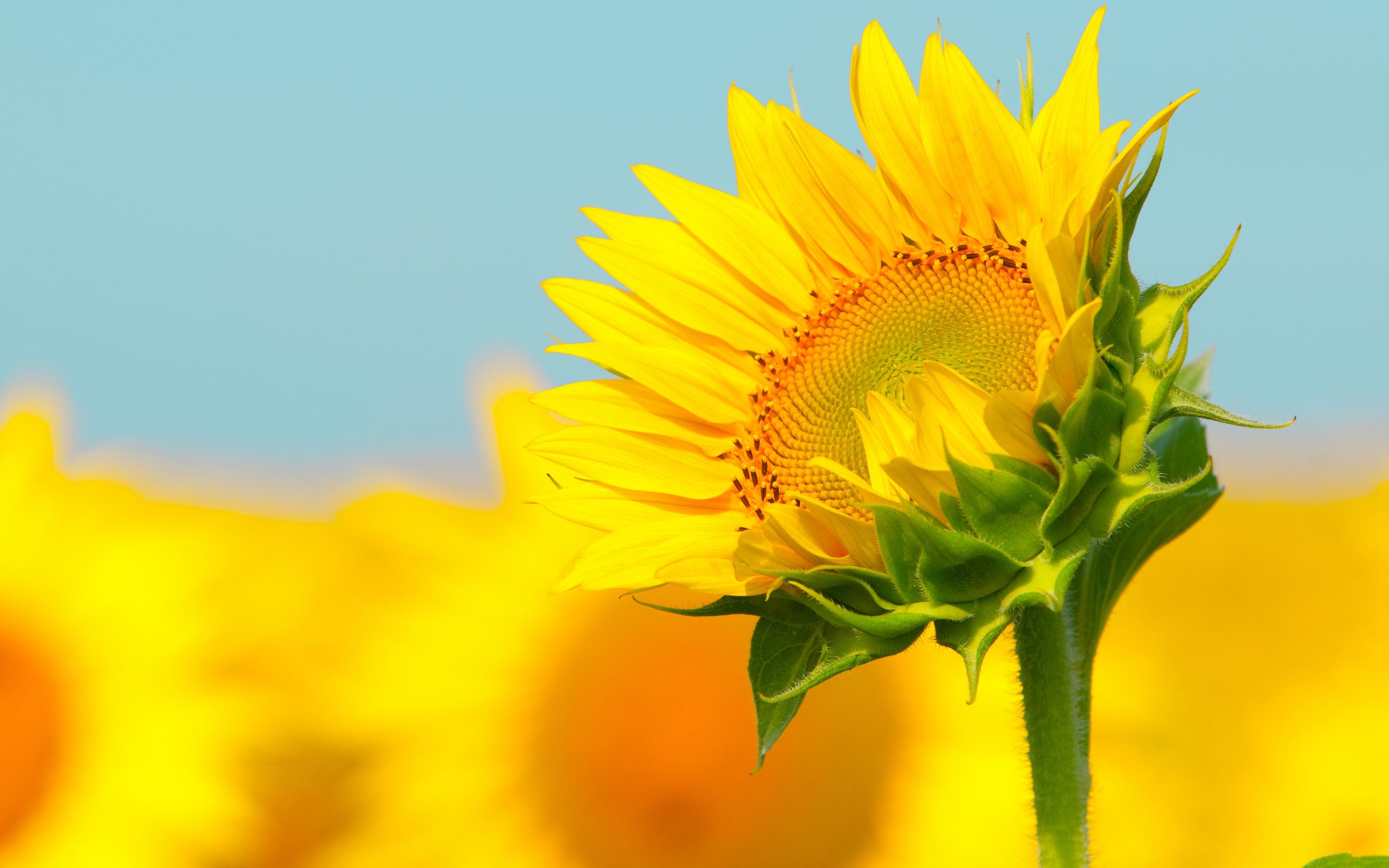 37013 скачать обои Растения, Цветы, Подсолнухи - заставки и картинки бесплатно