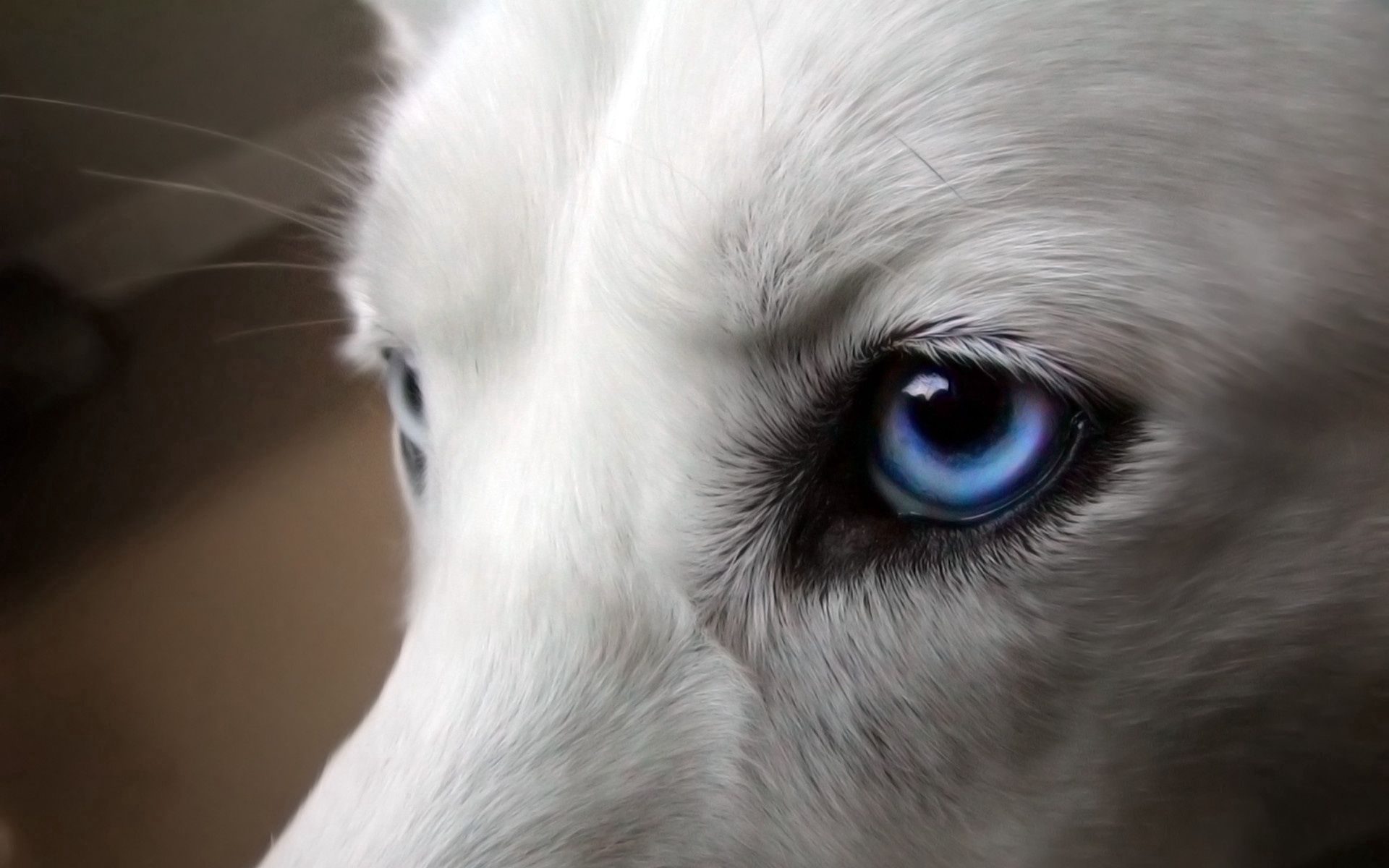 85606 download wallpaper Animals, Eyes, Dog, Blue Eyed, Blue-Eyed, Wool screensavers and pictures for free