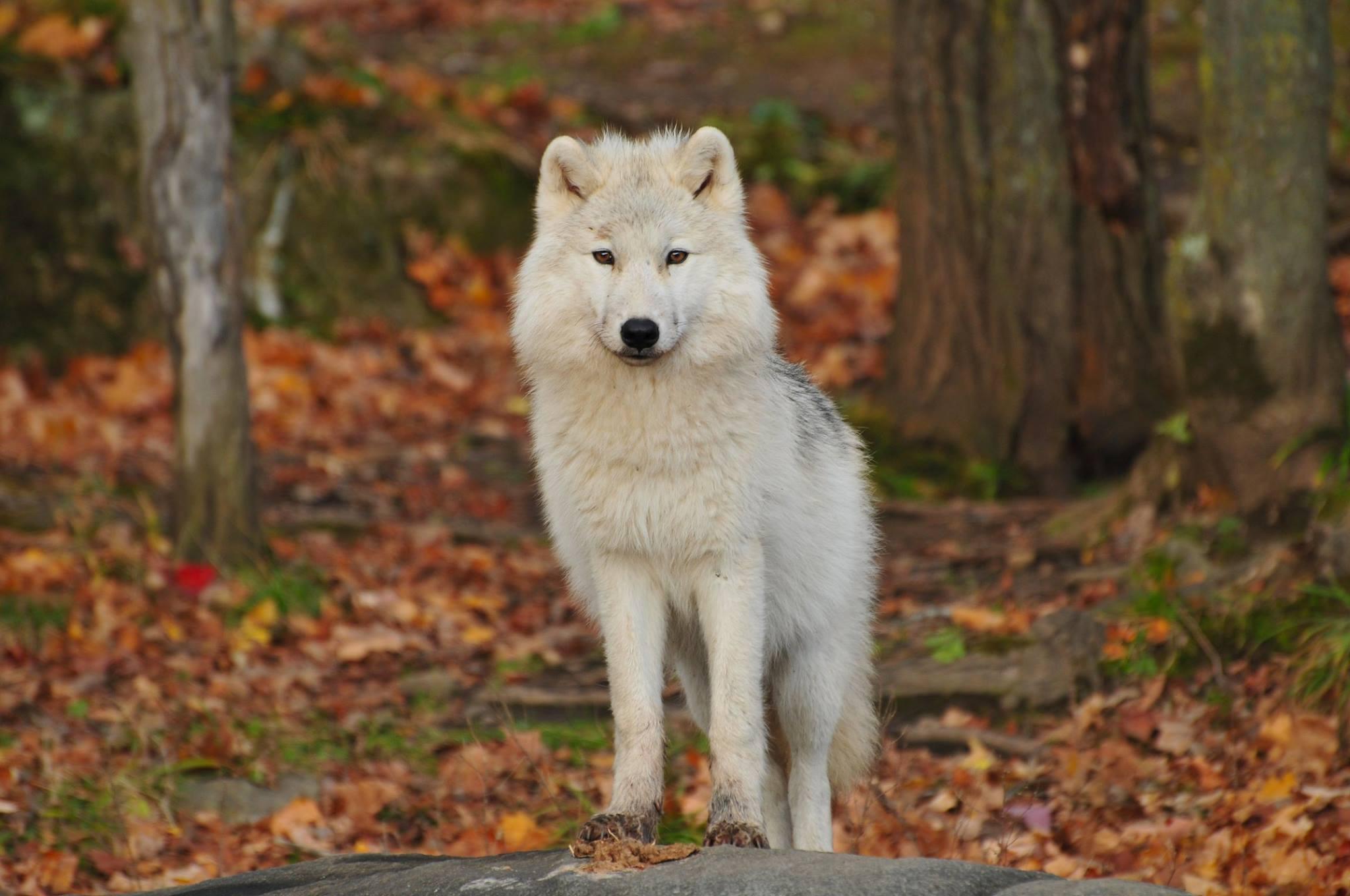 102749 descarga Blanco fondos de pantalla para tu teléfono gratis, Animales, Lobo, Depredador Blanco imágenes y protectores de pantalla para tu teléfono