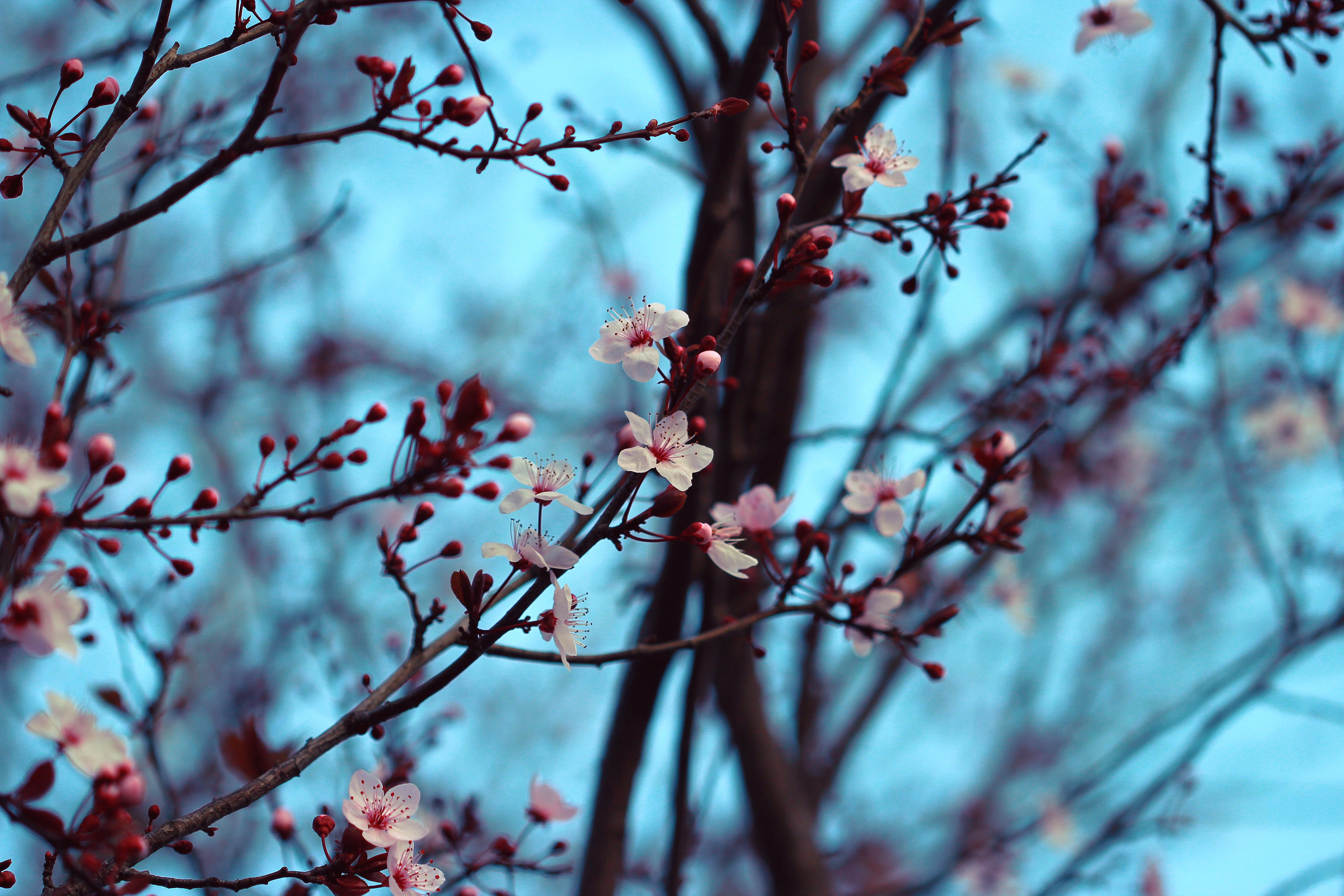 133837 скачать обои Весна, Вишня, Цветение, Цветы, Ветки - заставки и картинки бесплатно