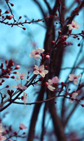 133837 скачать обои Цветы, Вишня, Цветение, Весна, Ветки - заставки и картинки бесплатно