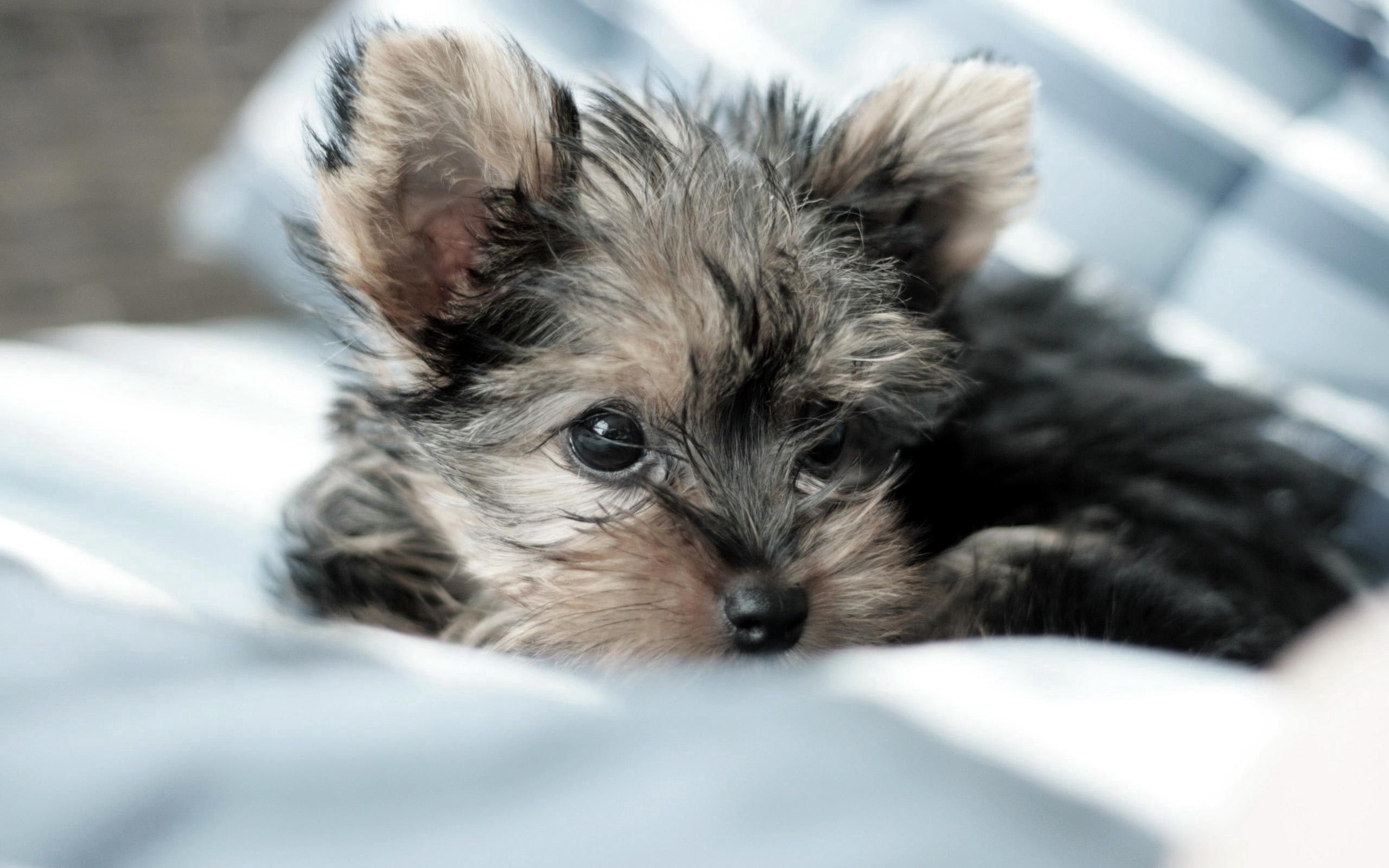 154805 download wallpaper Animals, Yorkshire Terrier, Dog, Puppy, To Lie Down, Lie, Fluffy screensavers and pictures for free