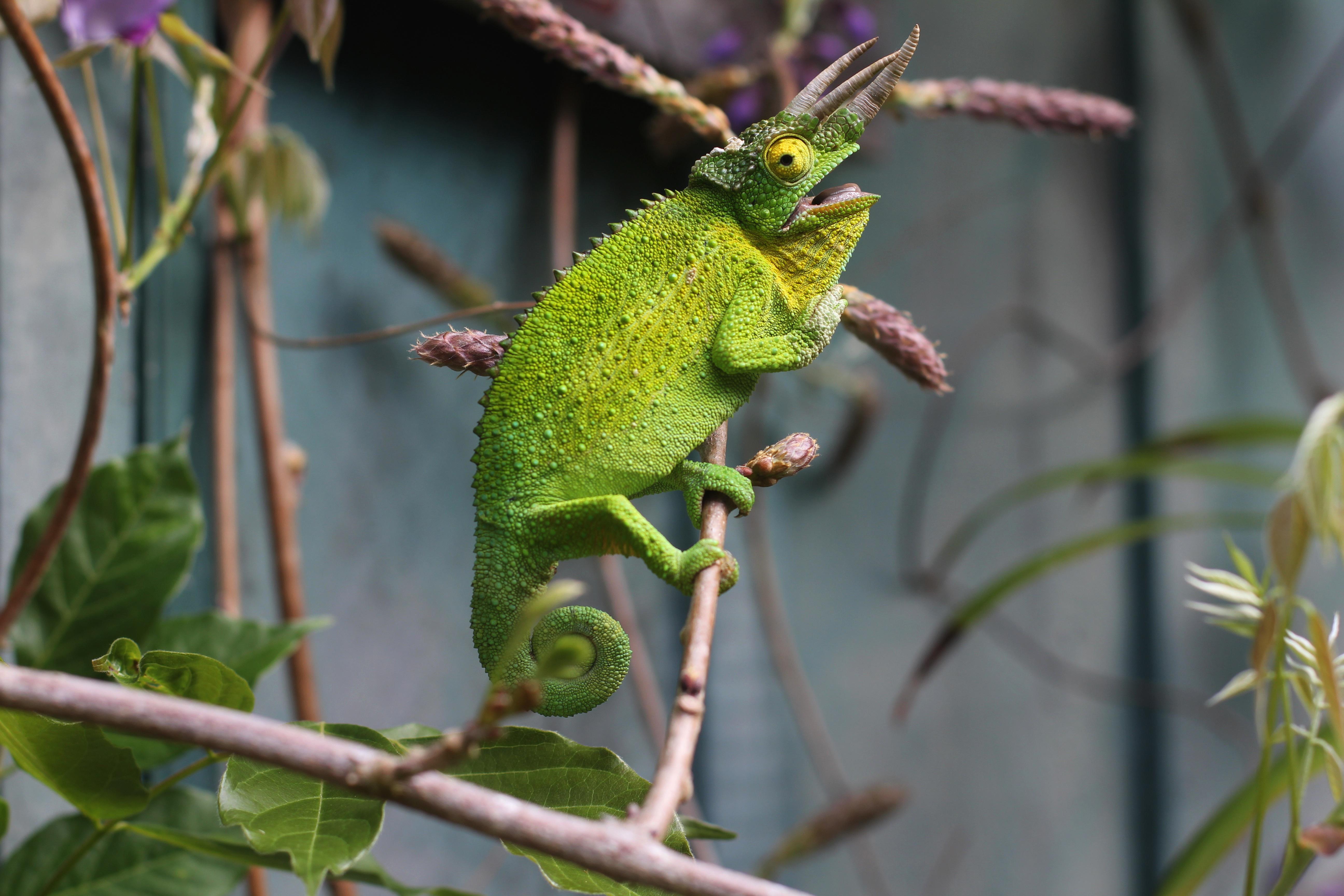 53835 Hintergrundbild herunterladen Tiere, Ast, Zweig, Eidechse, Reptil, Reptile, Chamäleon - Bildschirmschoner und Bilder kostenlos