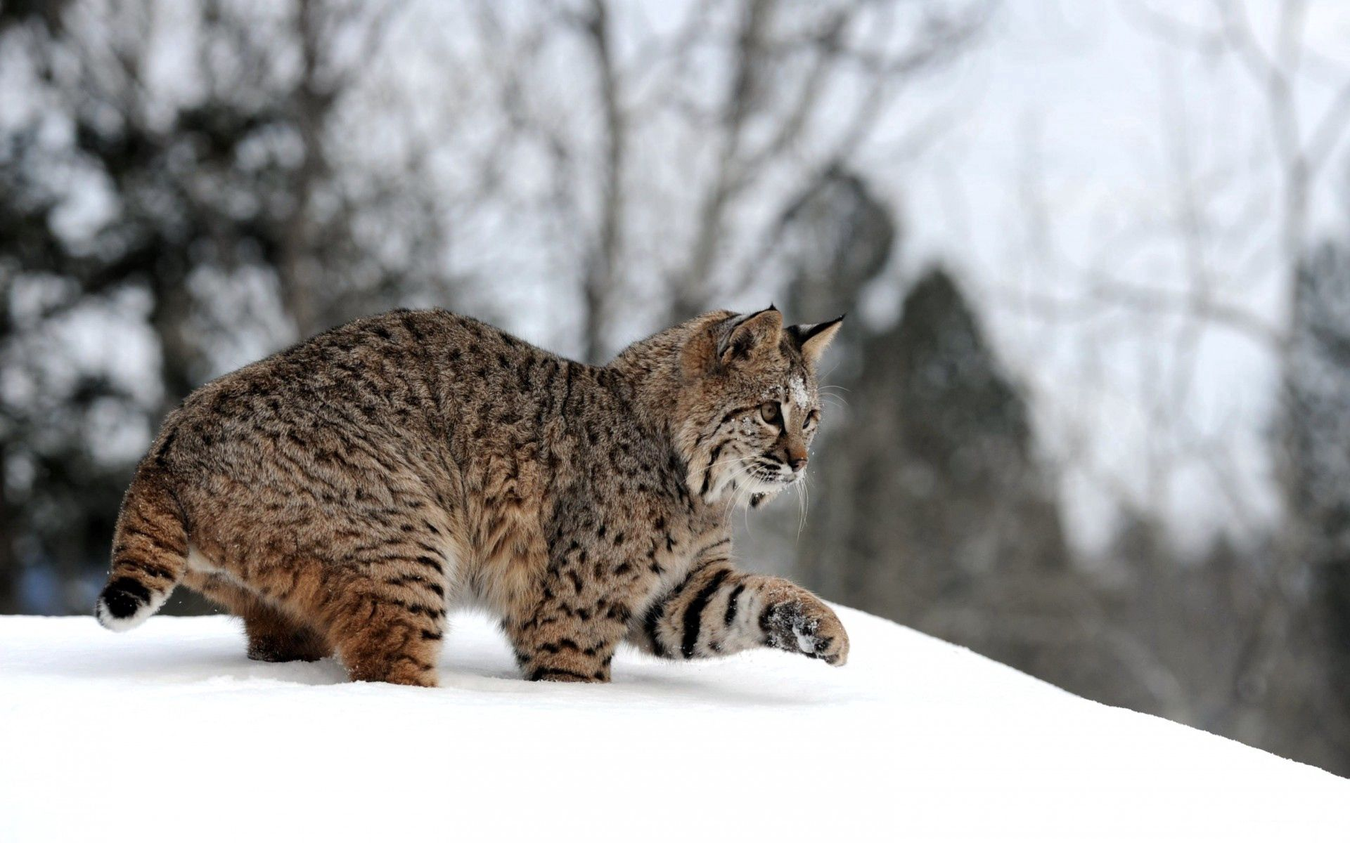 82698 download wallpaper Animals, Winter, Snow, Iris, Forest, Stroll, Playful screensavers and pictures for free