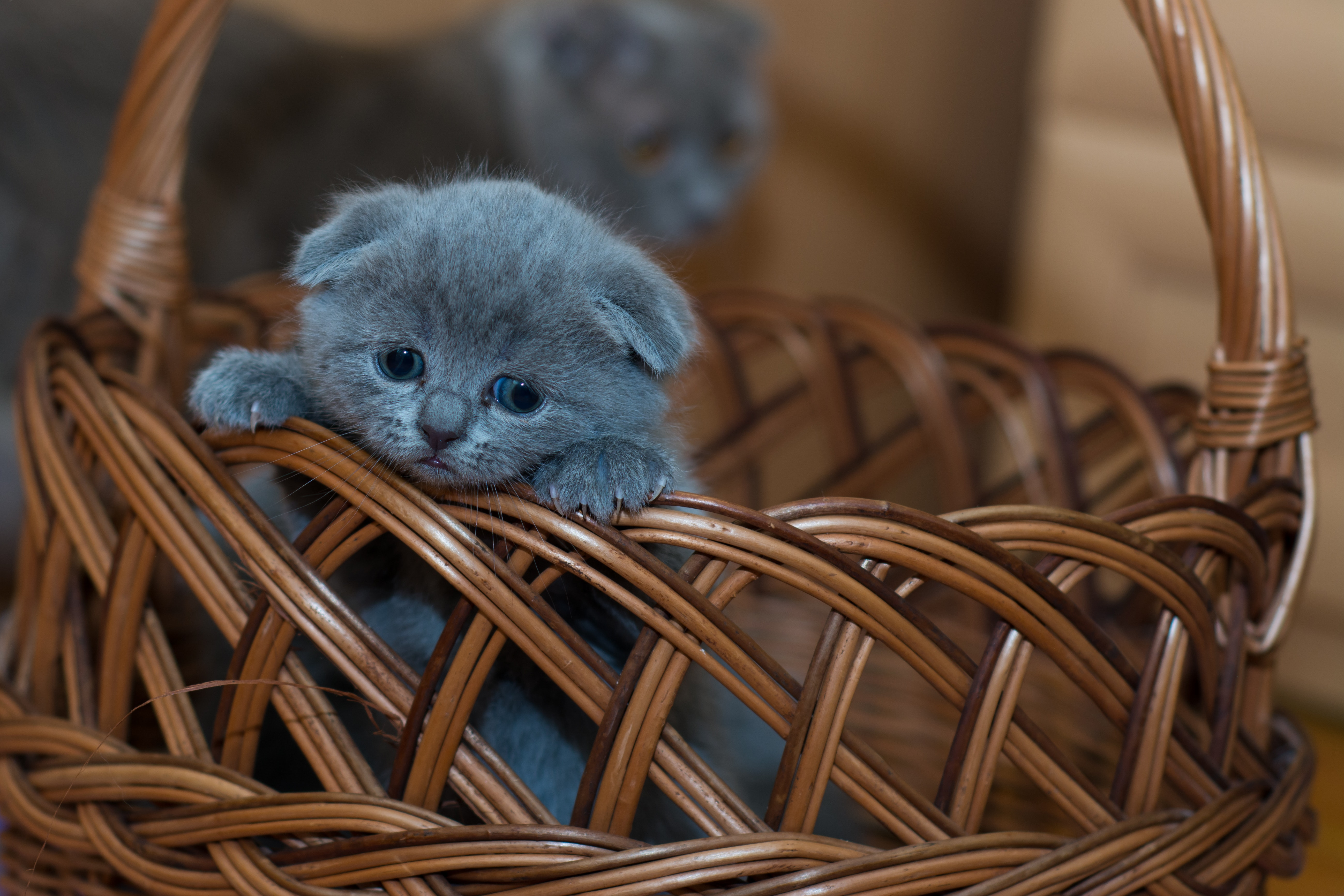 140301 download wallpaper Animals, Kitty, Kitten, Briton, Nice, Sweetheart, Sad, Basket screensavers and pictures for free