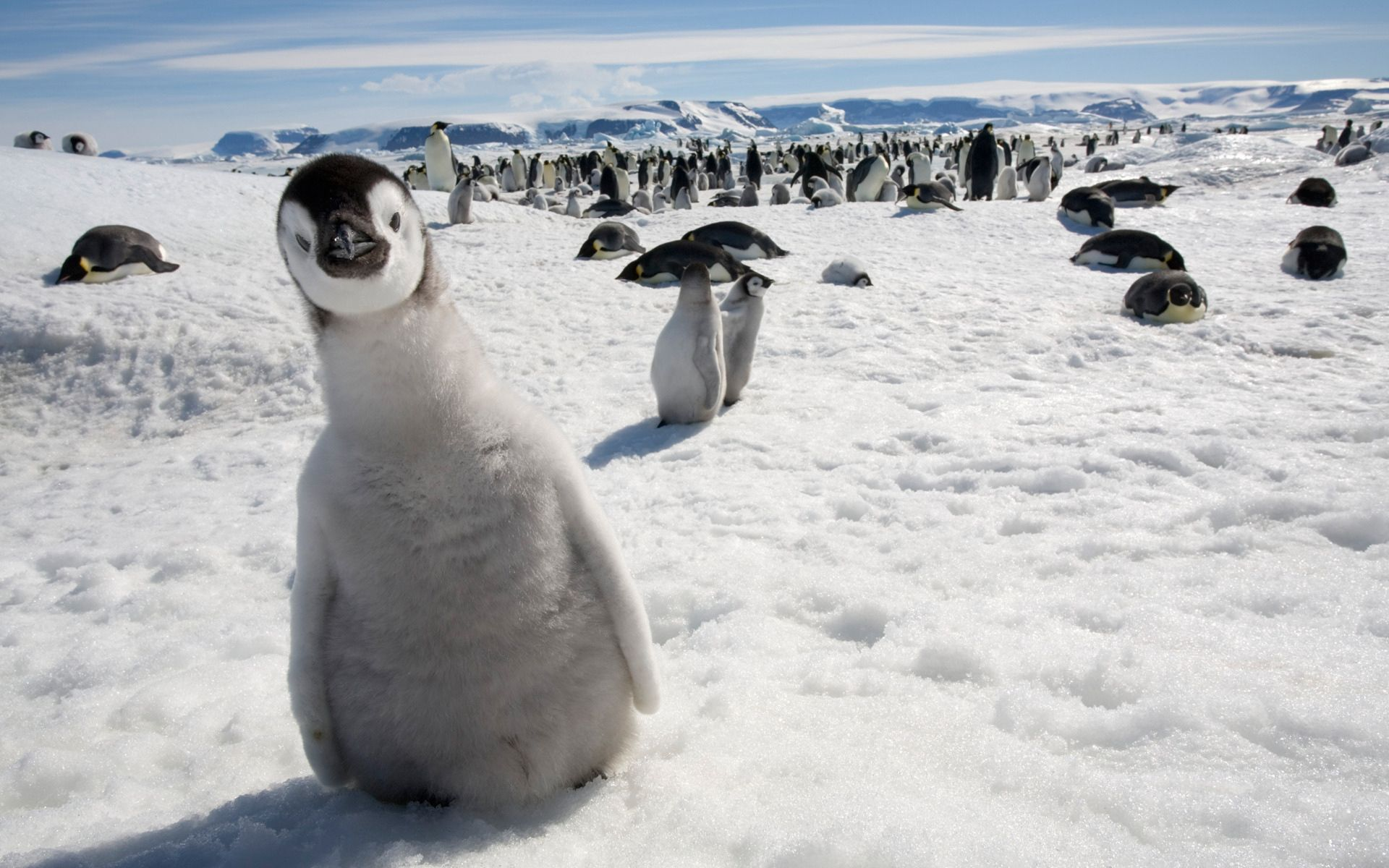 151966 download wallpaper Animals, Birds, Pinguins, Snow, Cold, Lots Of, Multitude screensavers and pictures for free
