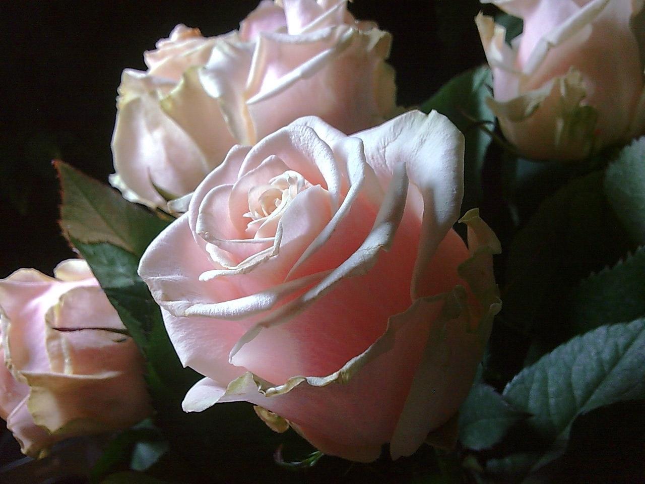 29036 скачать обои Растения, Цветы, Розы - заставки и картинки бесплатно