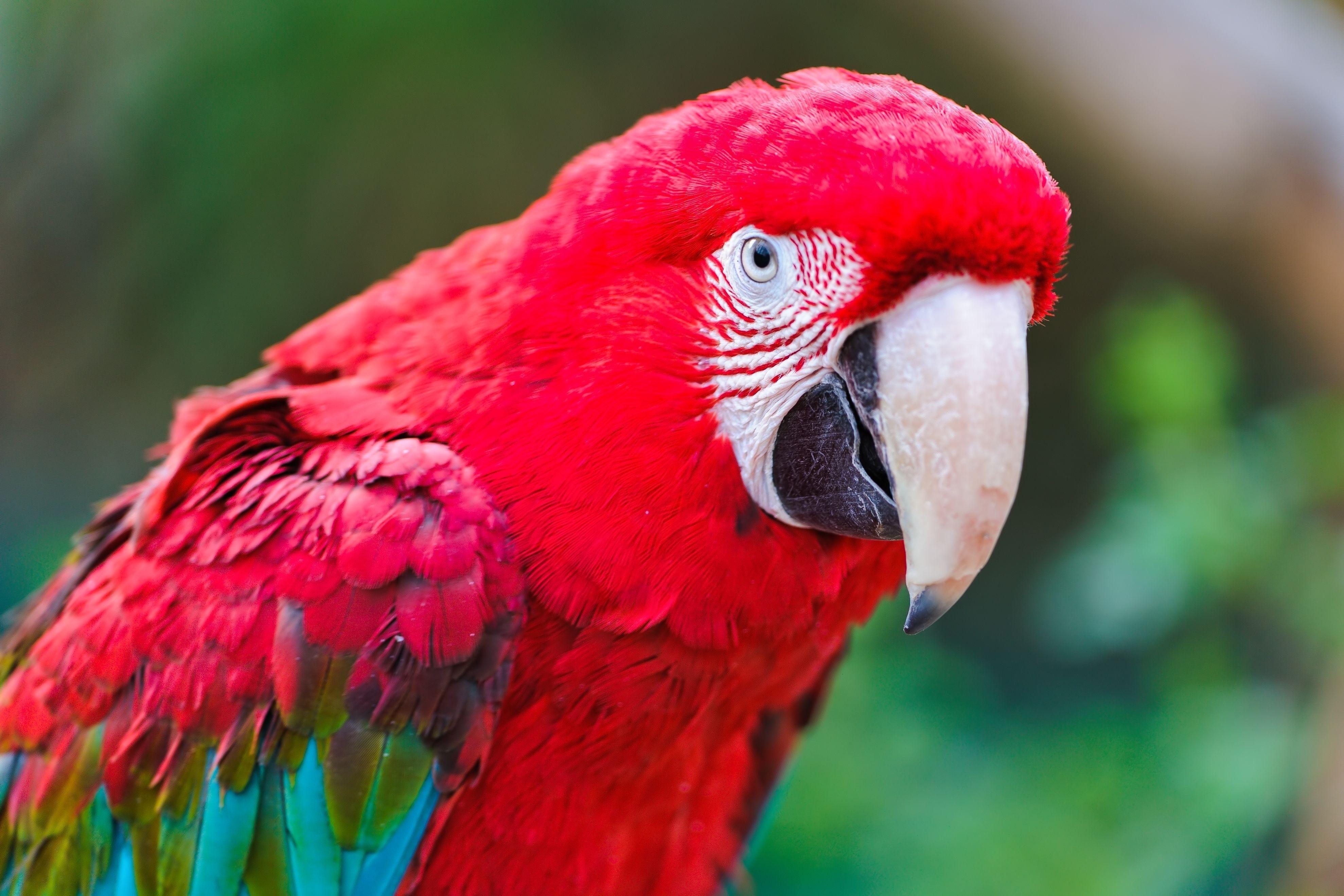 128118 скачать обои Животные, Попугаи, Клюв, Окрас, Красный - заставки и картинки бесплатно
