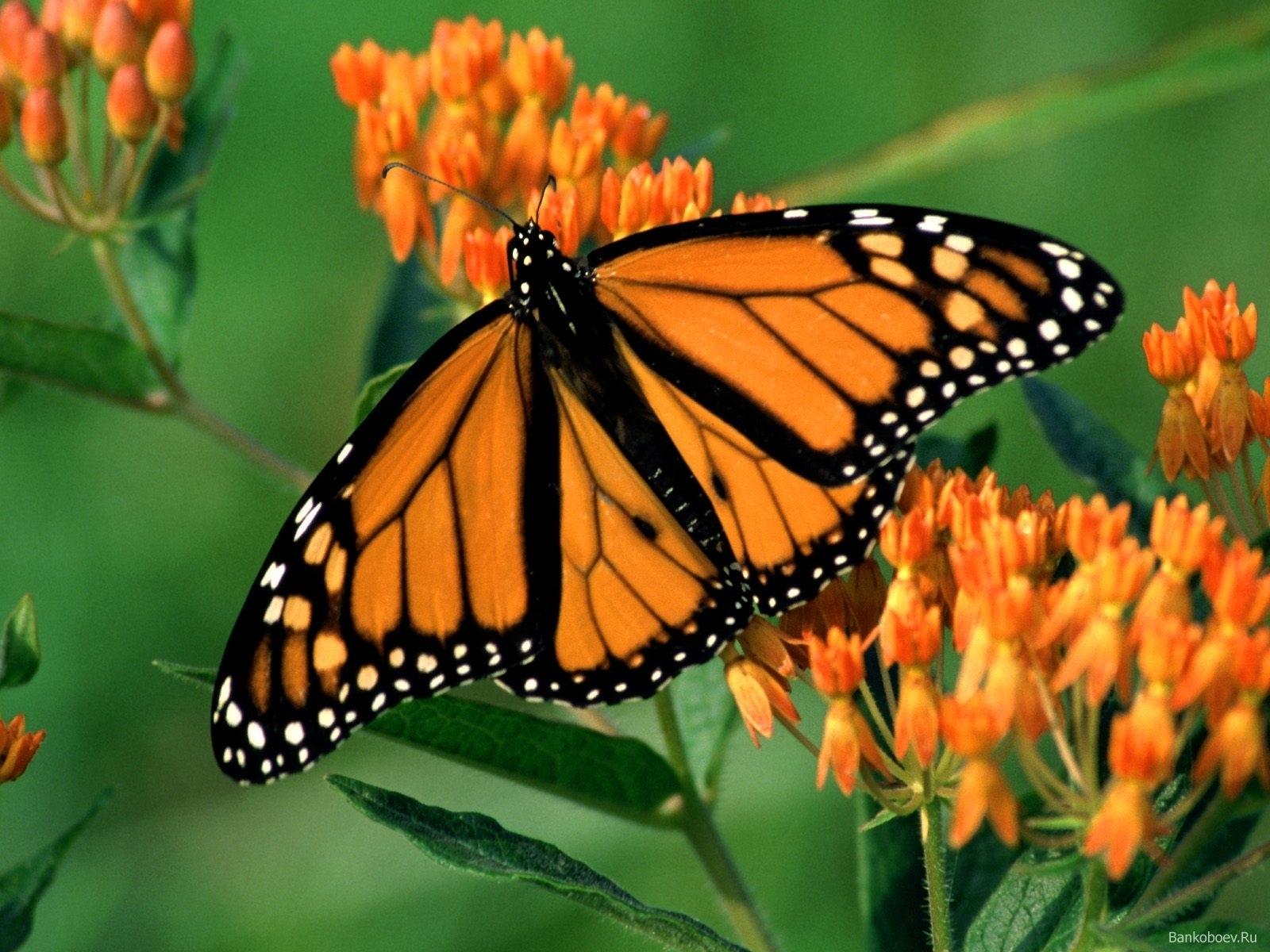 1768 скачать обои Бабочки, Насекомые - заставки и картинки бесплатно