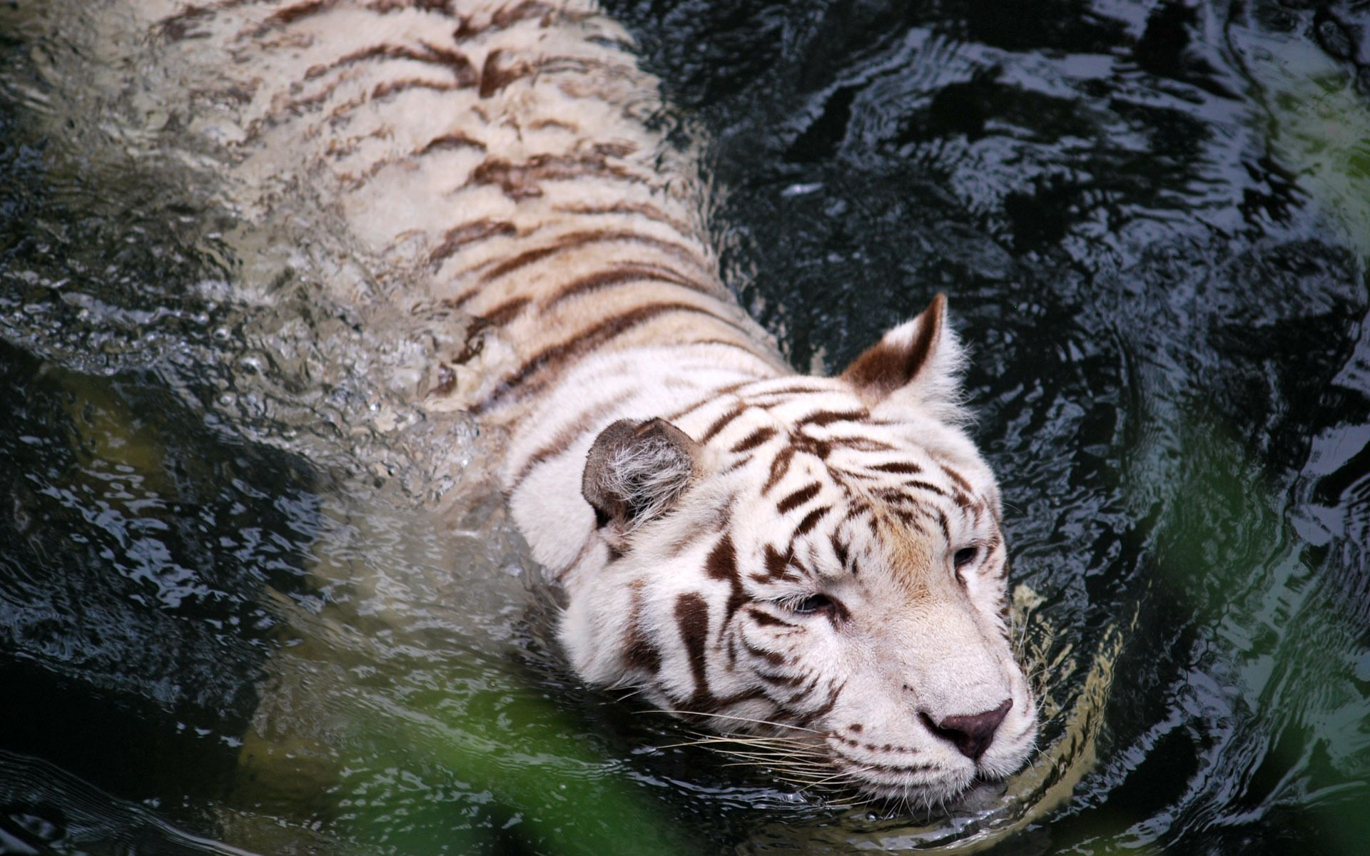 101836 download wallpaper Animals, Tiger, Albino, To Swim, Swim, Water, Big Cat, Predator screensavers and pictures for free