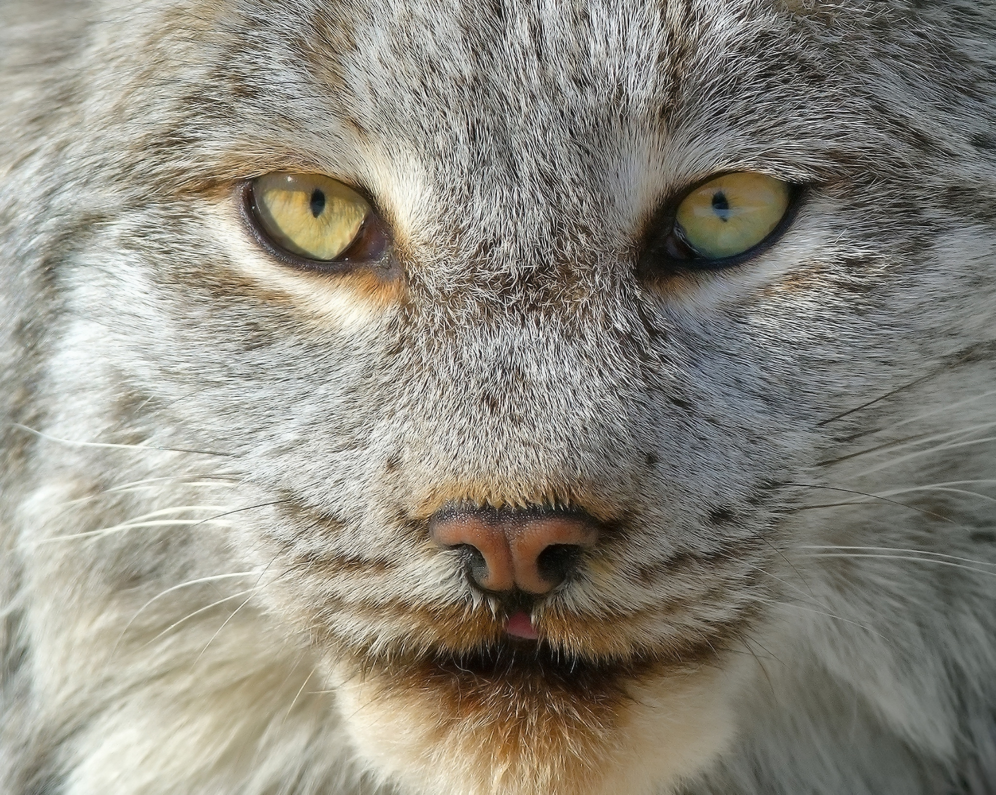 139314 Screensavers and Wallpapers Nose for phone. Download Animals, Iris, Muzzle, Predator, Nose pictures for free