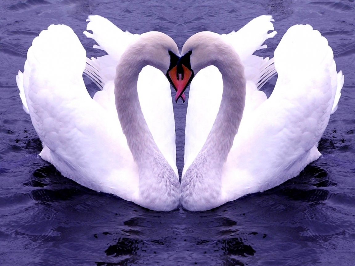 46530 download wallpaper Animals, Birds, Hearts, Swans screensavers and pictures for free