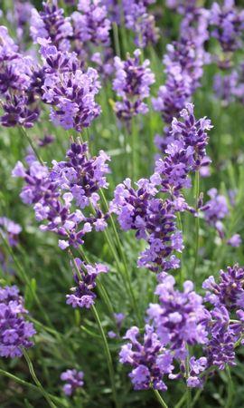 41515 descargar fondo de pantalla Plantas, Flores: protectores de pantalla e imágenes gratis