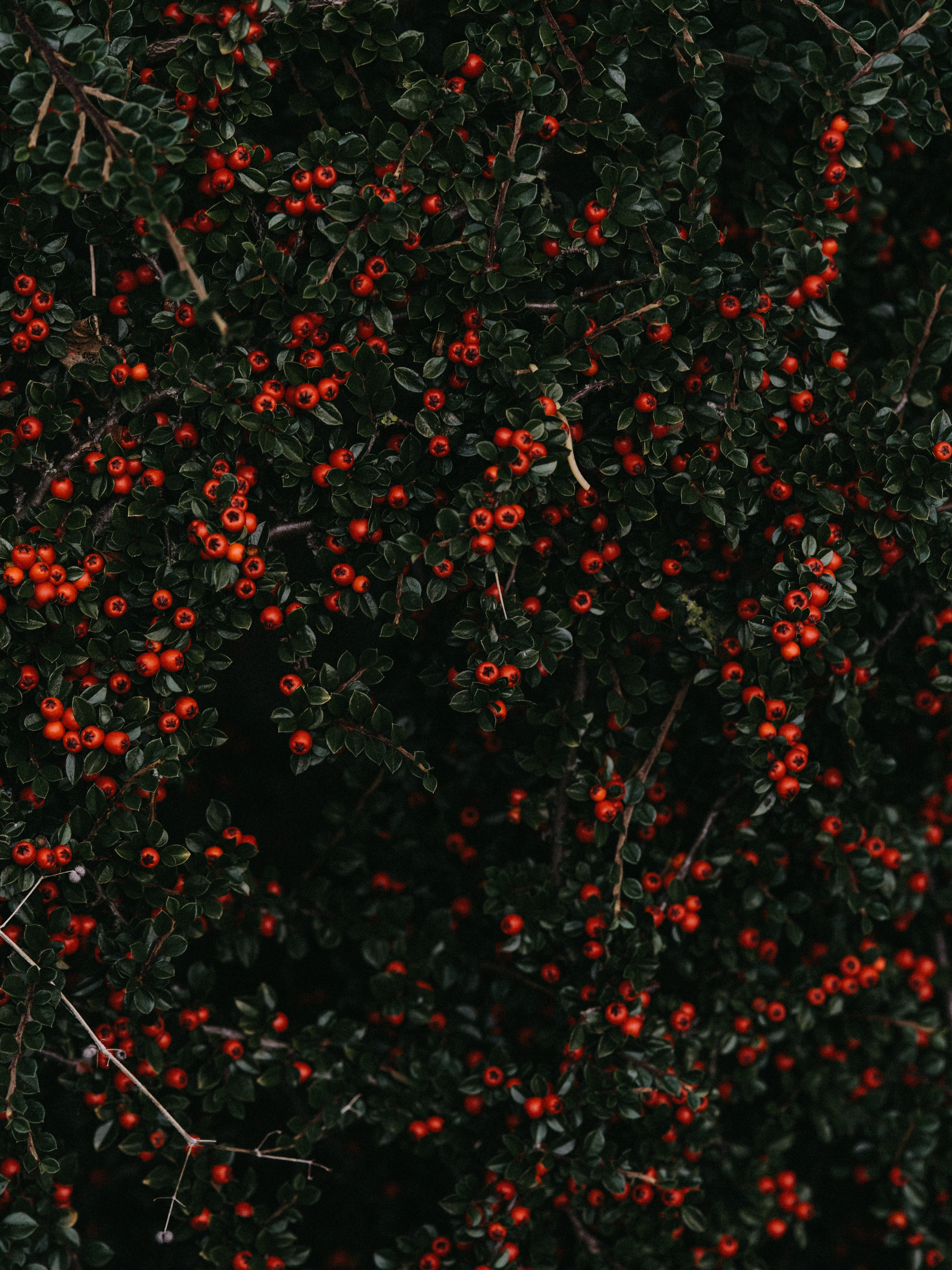 128097 Screensavers and Wallpapers Berries for phone. Download Nature, Bush, Plant, Berries pictures for free