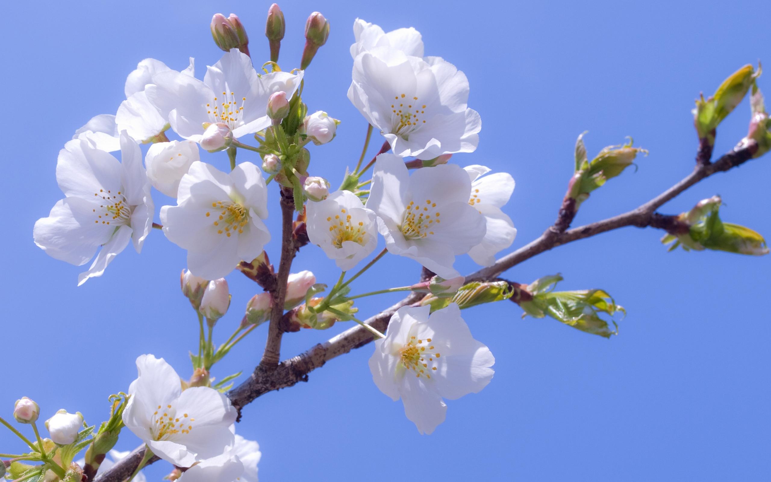 14950 descargar fondo de pantalla Plantas, Flores, Cereza: protectores de pantalla e imágenes gratis