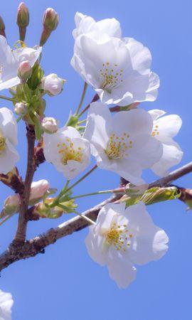 14950 скачать обои Растения, Цветы, Вишня - заставки и картинки бесплатно