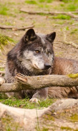 140227 download wallpaper Animals, Wolf, Predator, Muzzle, Forest, To Lie Down, Lie screensavers and pictures for free