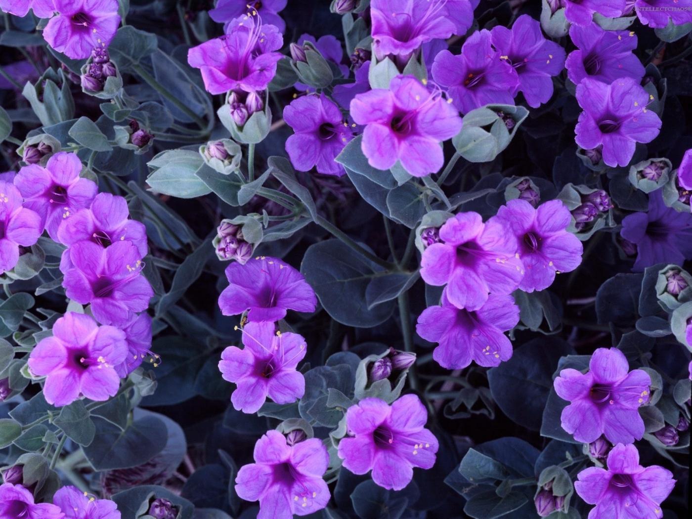 43426 Заставки и Обои Фиалки на телефон. Скачать Растения, Цветы, Фиалки картинки бесплатно