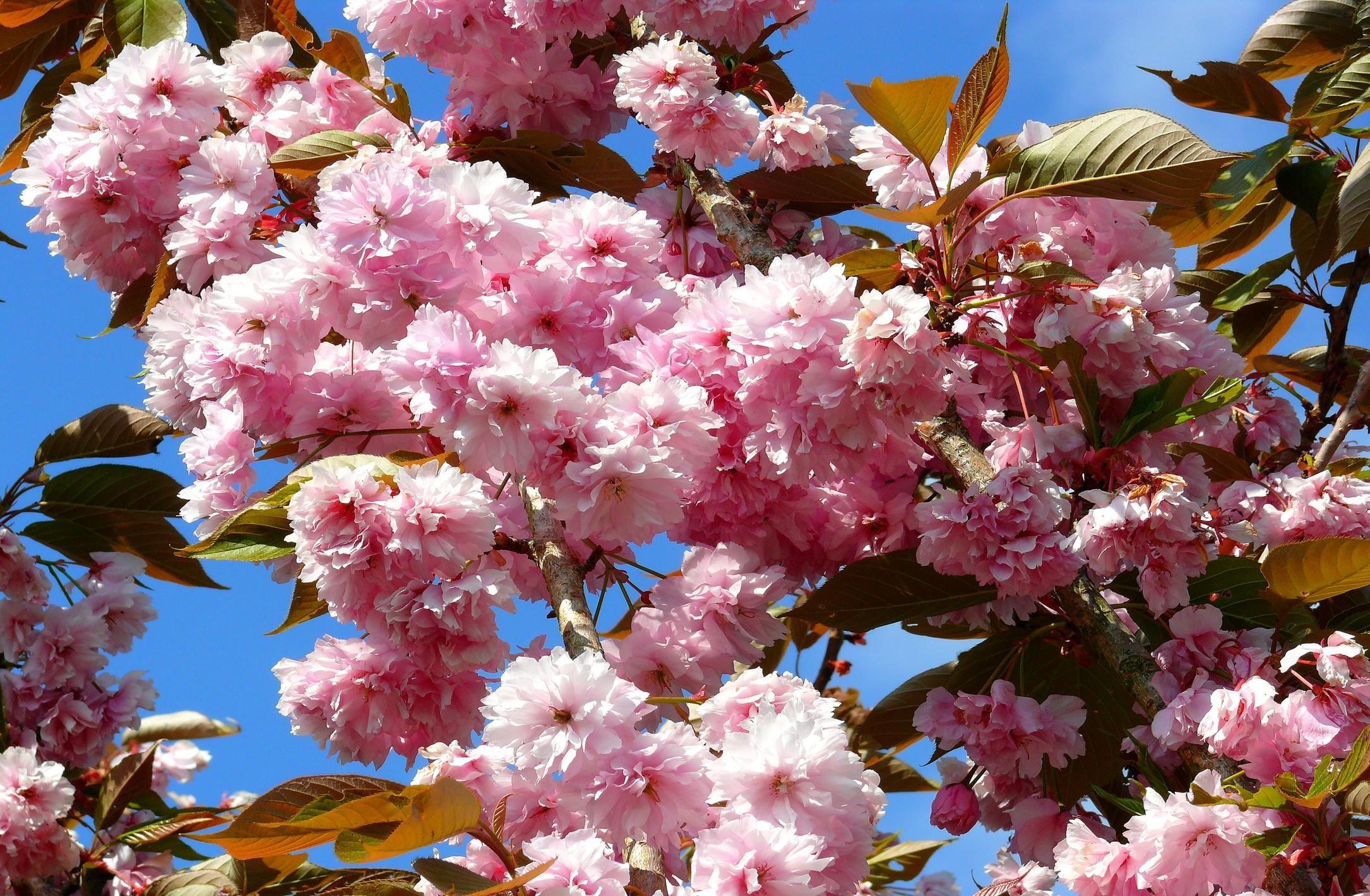 134492 Заставки и Обои Сакура на телефон. Скачать Цветы, Небо, Листья, Сакура, Цветение, Ветка, Весна картинки бесплатно
